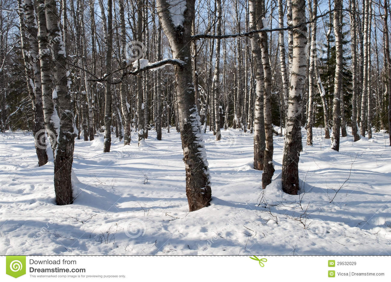 Vidoeiros desencapados na floresta do inverno
