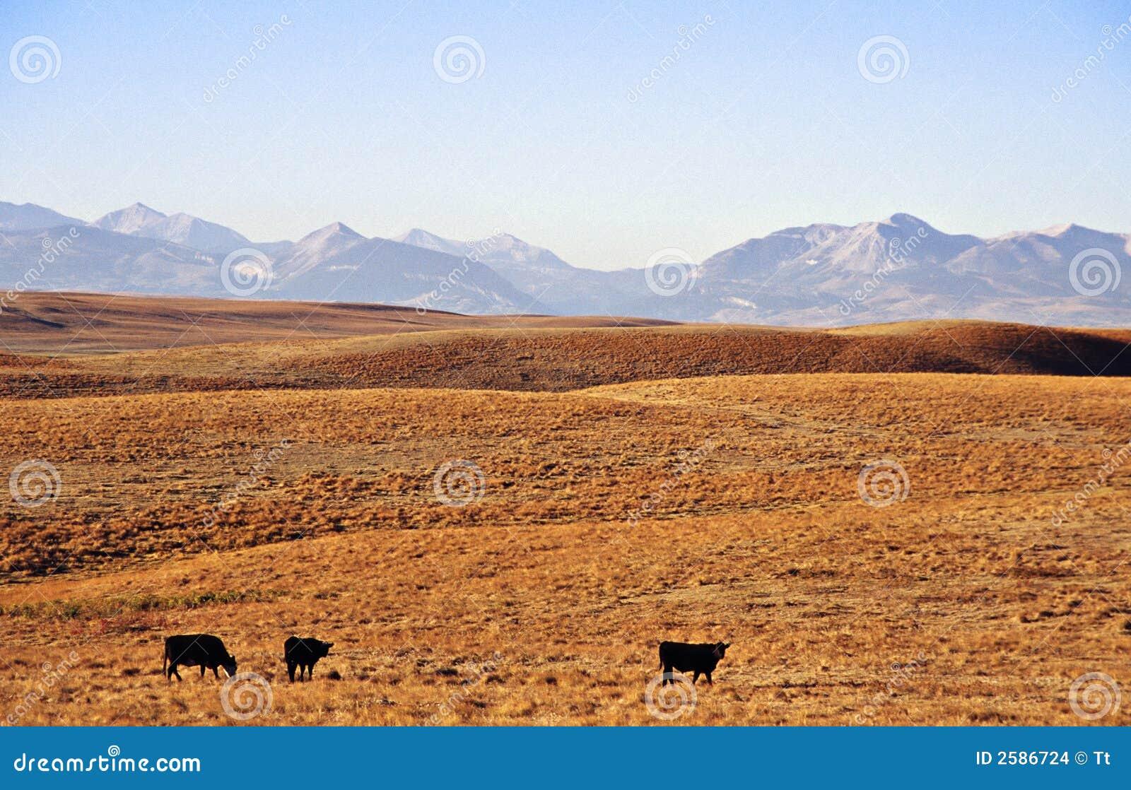 Vieh am Grasland