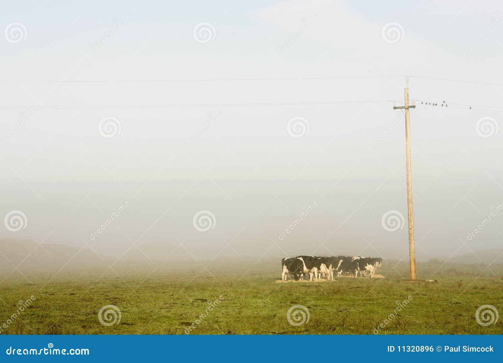Vieh im frühen Morgen beleuchtet in der Weide