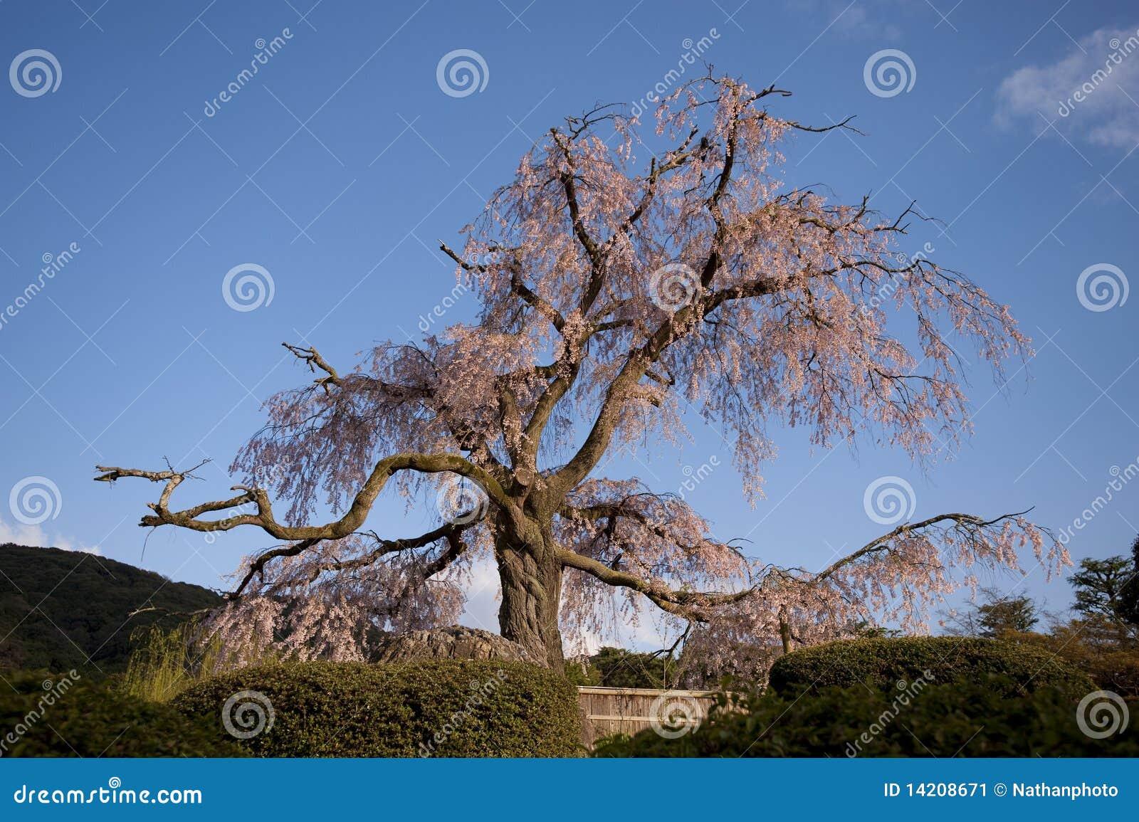 vieil arbre majestueux en pleine floraison japon image stock image 14208671. Black Bedroom Furniture Sets. Home Design Ideas