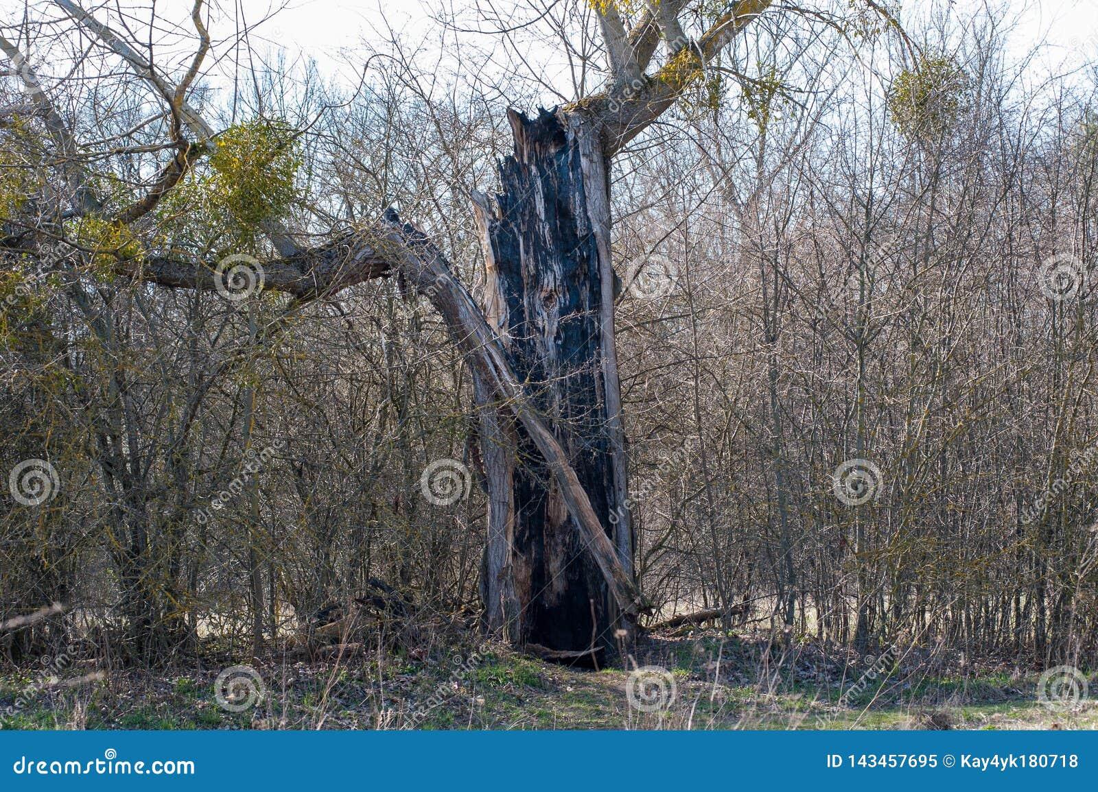 Vieil arbre tu? par des orages de foudre Grève surprise un arbre