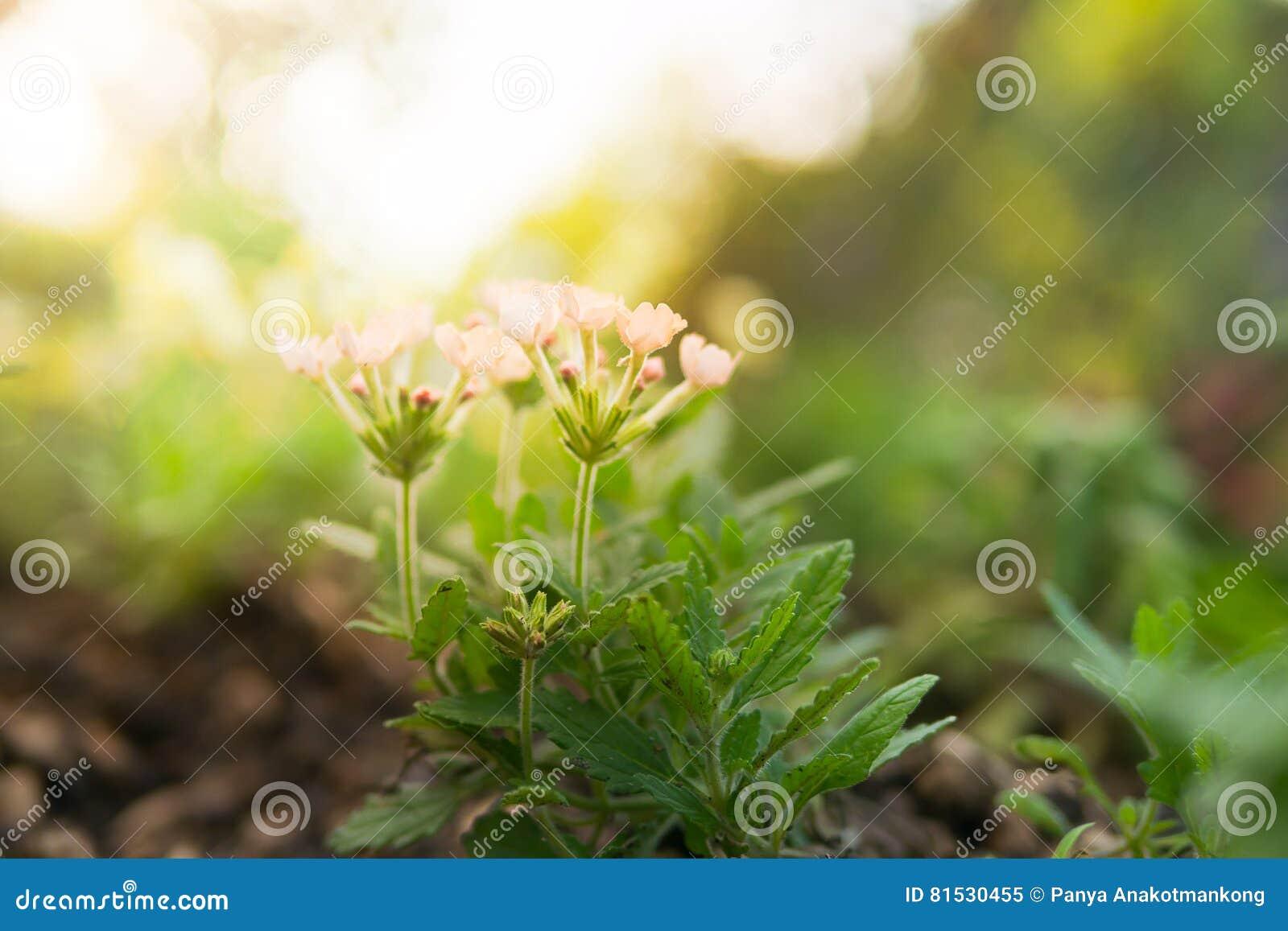 vieille fleur rose de fleur de hybrida de verveine photo stock