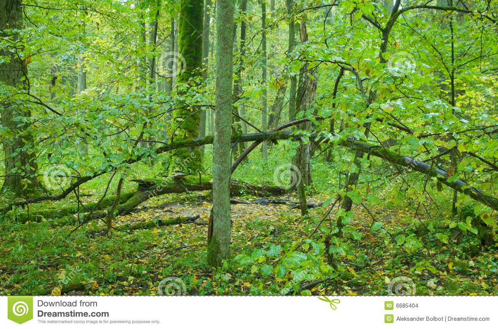 Vieille for t feuilles caduques avec l 39 arbre de tilleul - Arbres a feuilles caduques ...