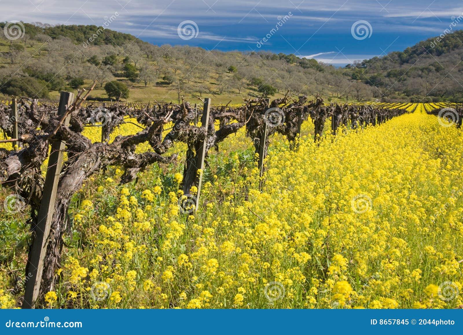 Vieilles vignes et fleurs de floraison de moutarde