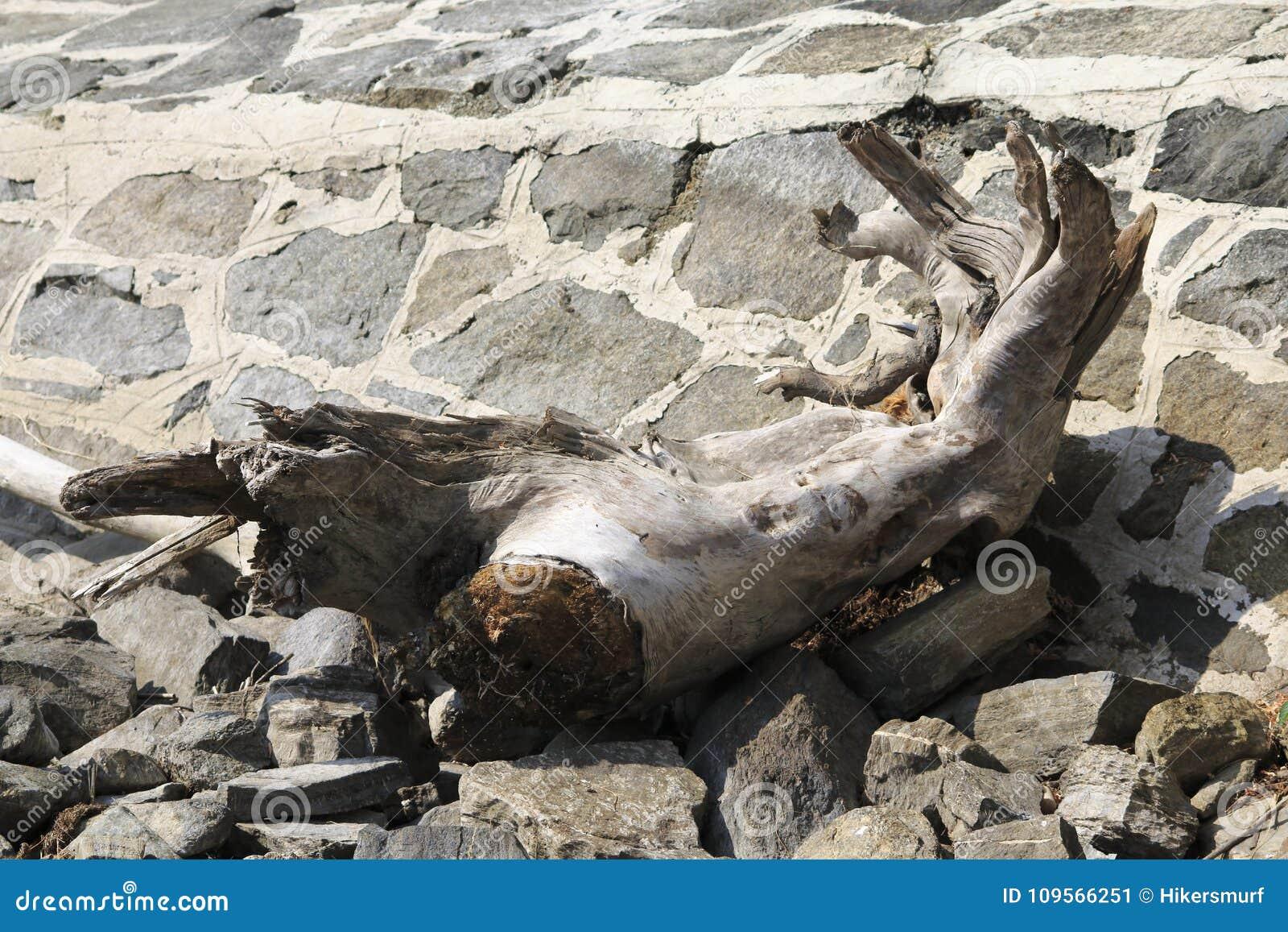 Vieillissez le tronc sec, alluvial sur le rivage du lac, épave