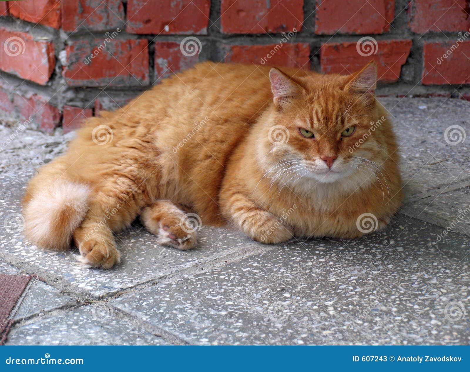 Viejo gato rojo hermoso