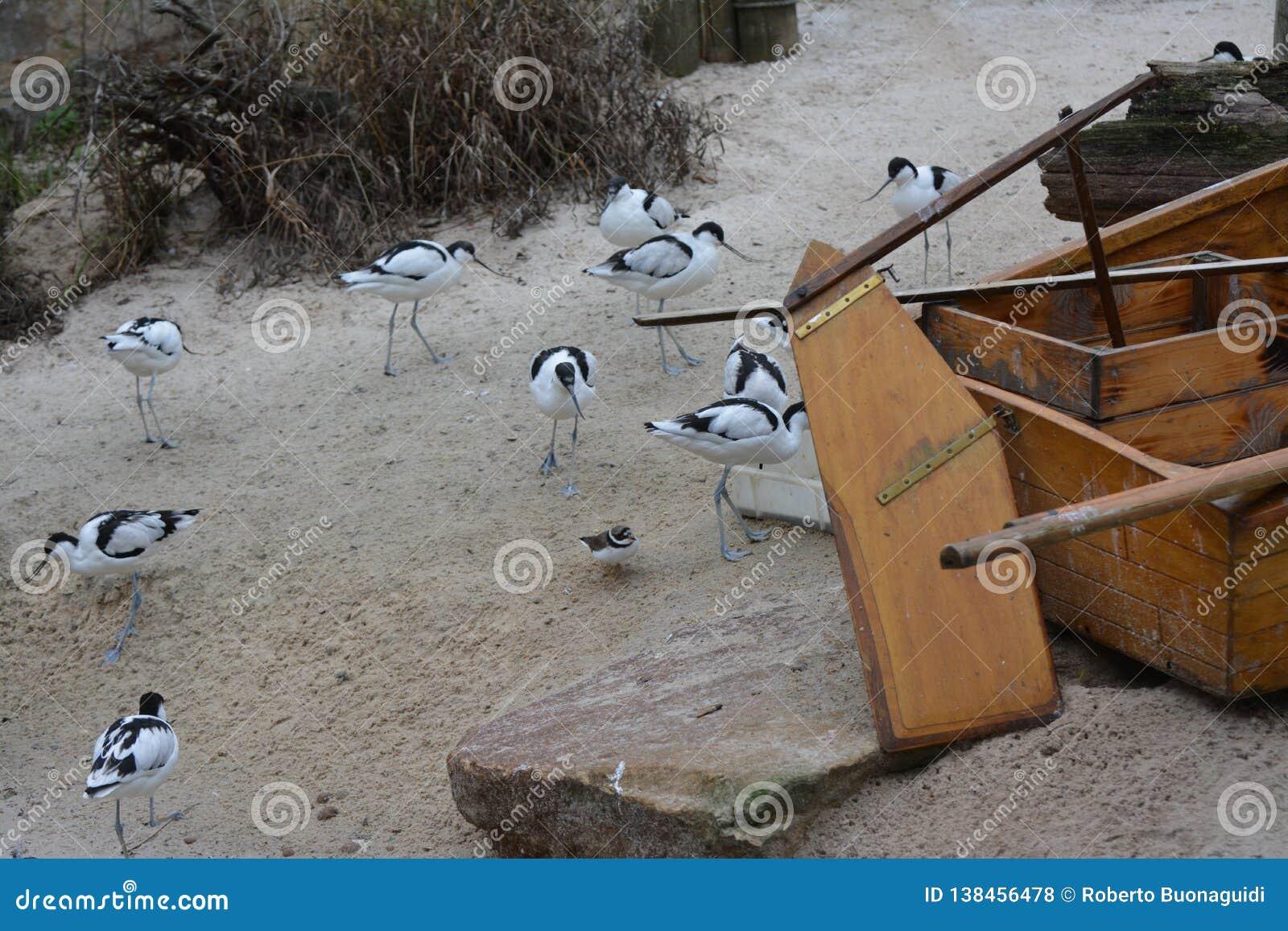 Viel gescheckter Avocet auf dem Strand