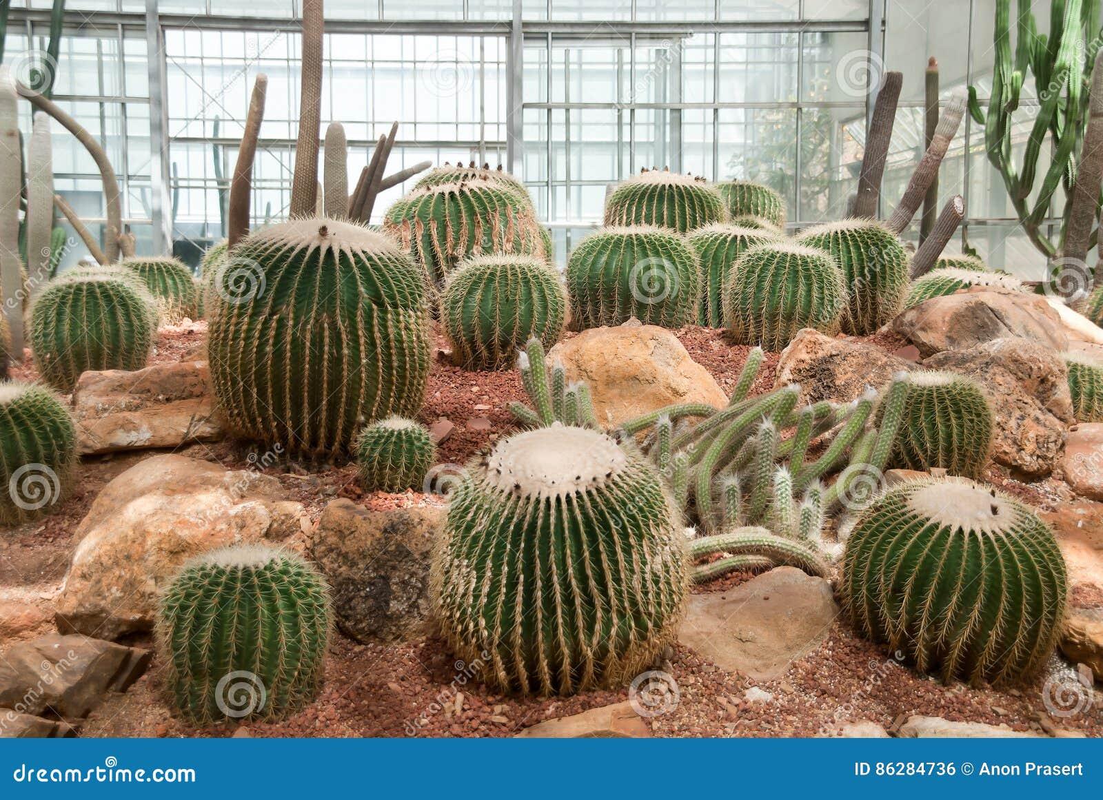 Viel Grosser Kaktus Im Gewachshaus Stockfoto Bild Von Gewachshaus