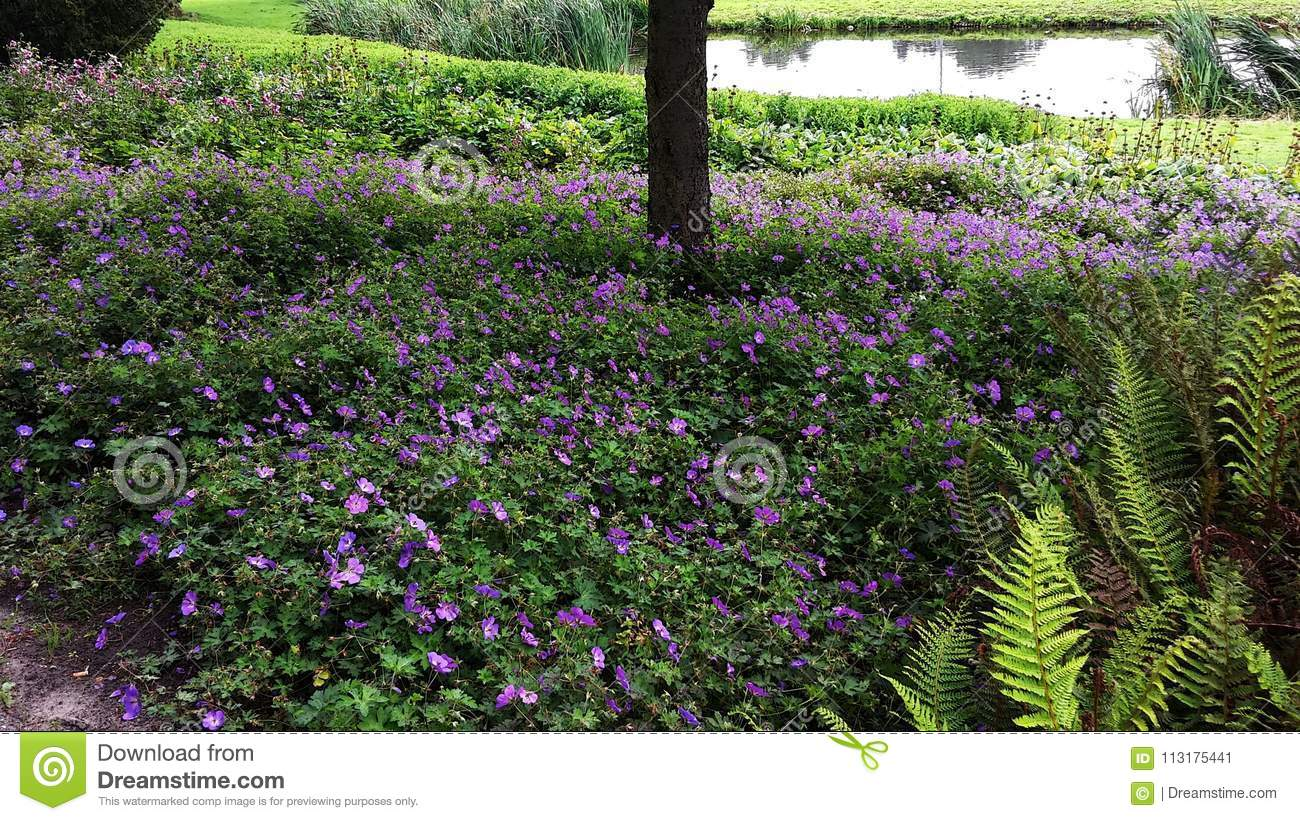 Geranium Rozanne Purple Flowers In A Park Stock Image Image Of