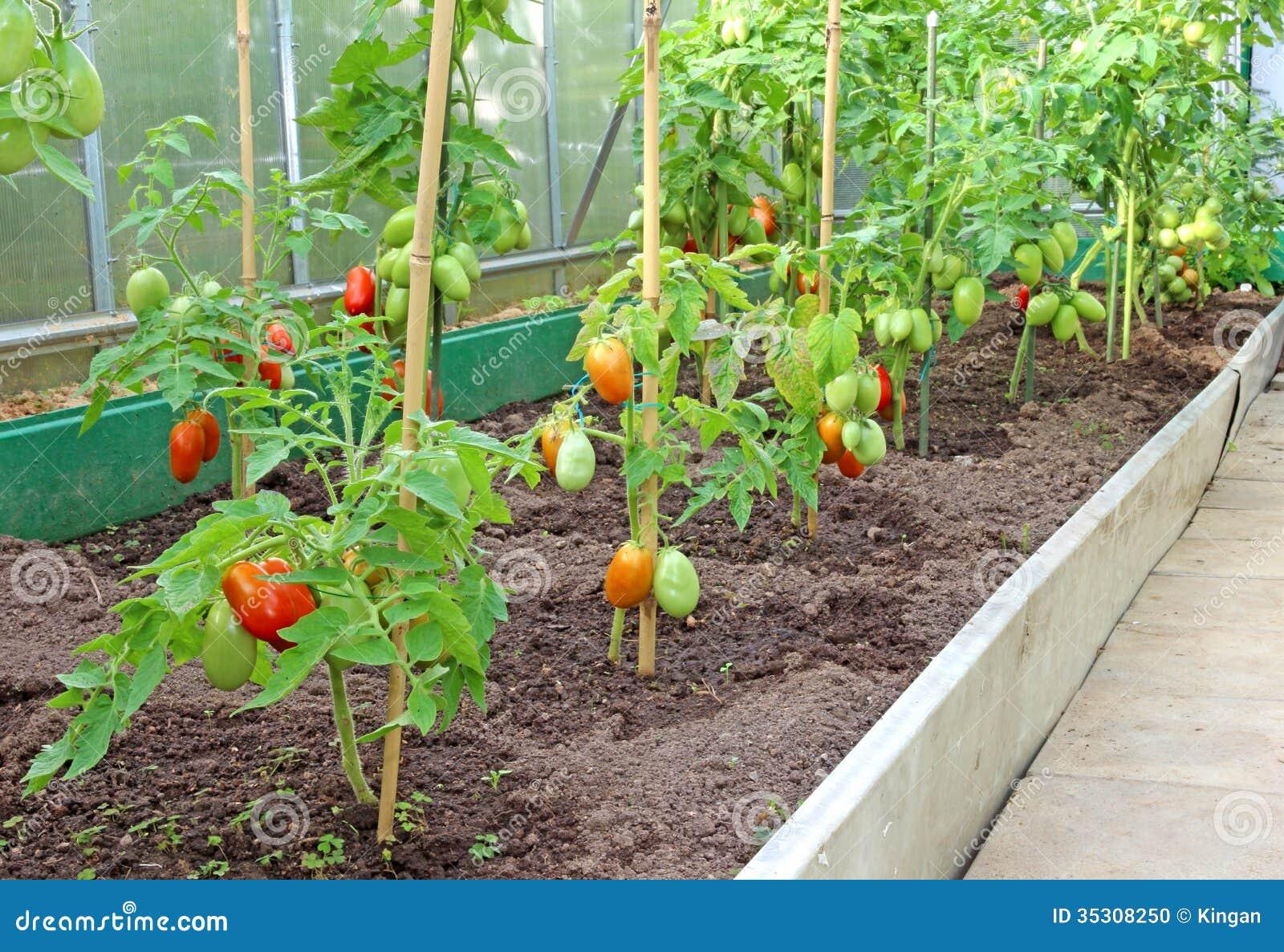 viele b sche von tomaten im gew chshaus stockfoto bild 35308250. Black Bedroom Furniture Sets. Home Design Ideas