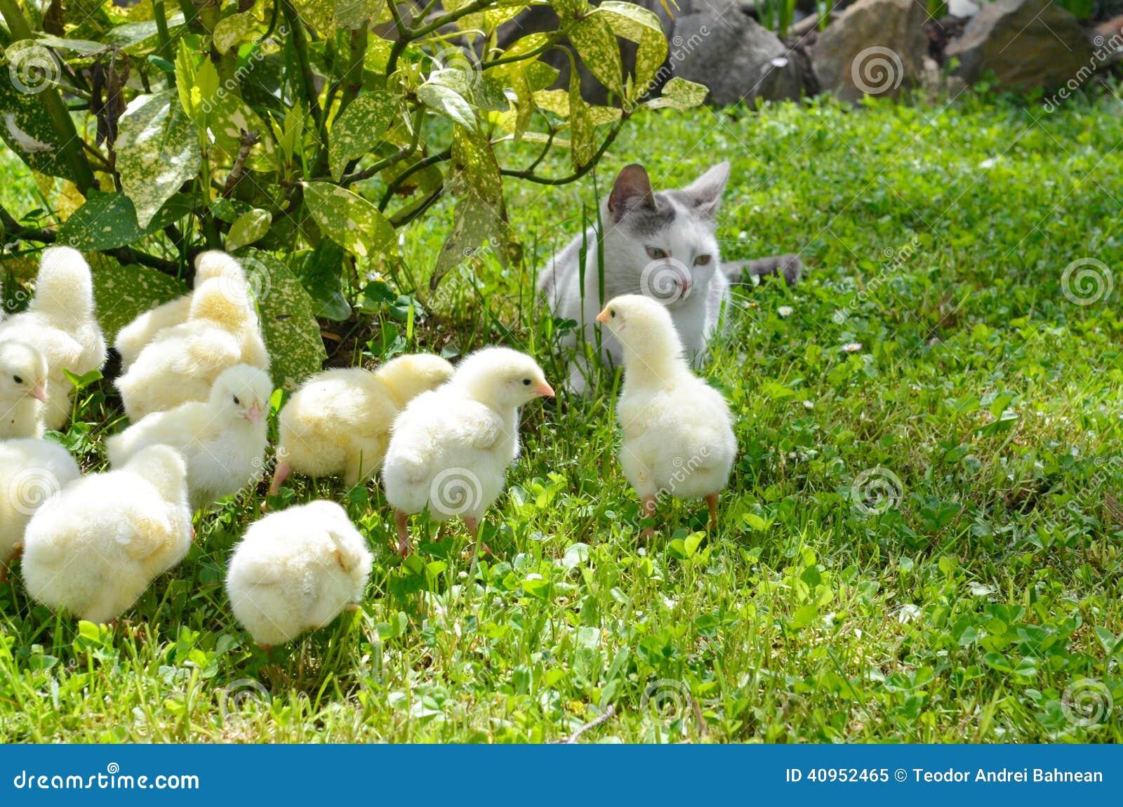 Viele gelben Hühner