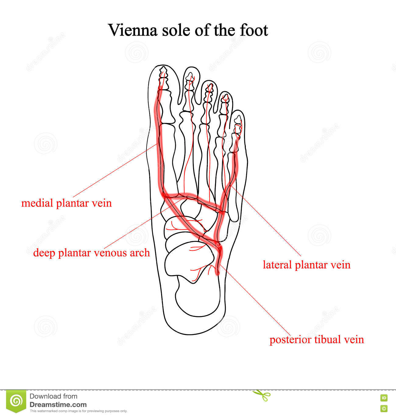 Vienna Sole Of The Foot Two Color Anatomical Illustrations Foot