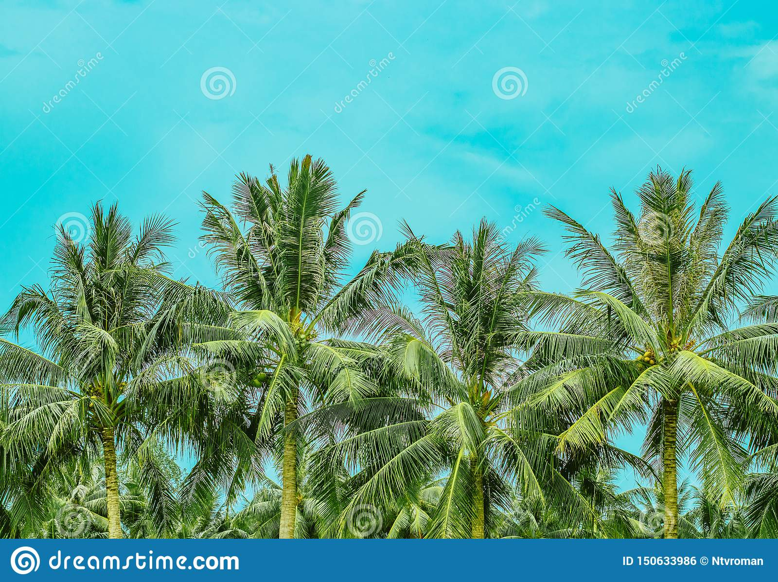 Vier üppige Palmenwipfel