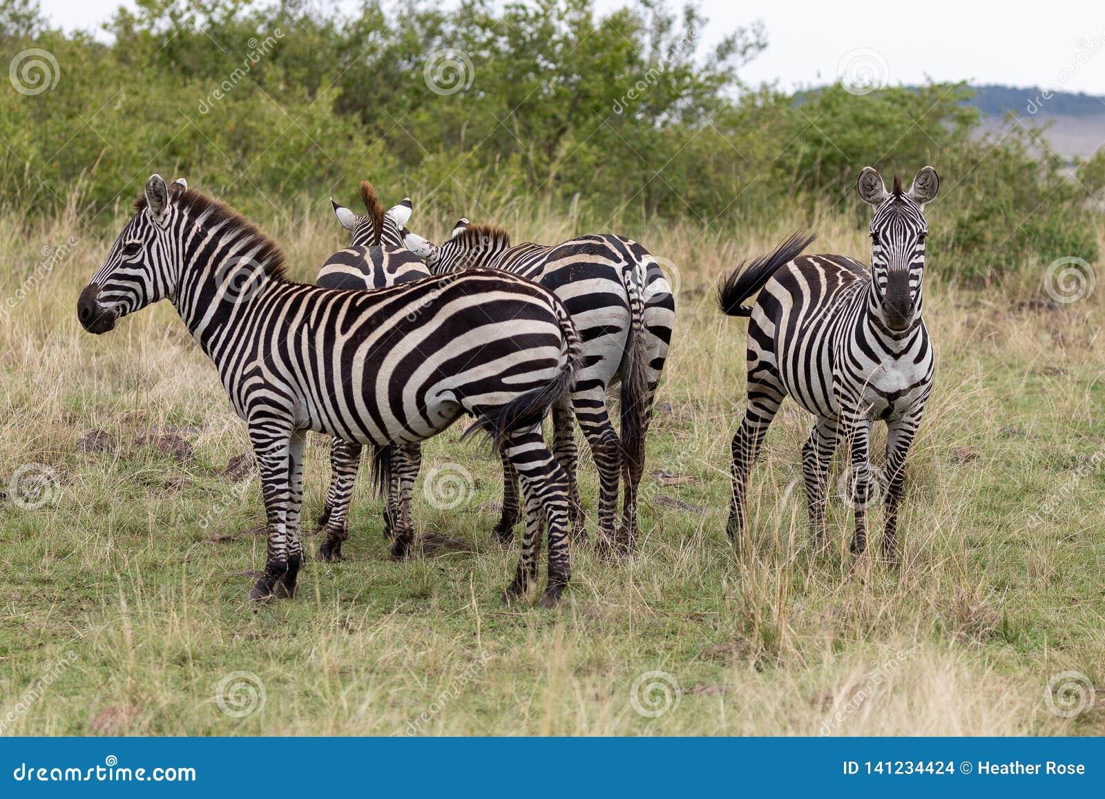 Vier Ebenen-Zebra in Masai Mara, Kenia, Afrika