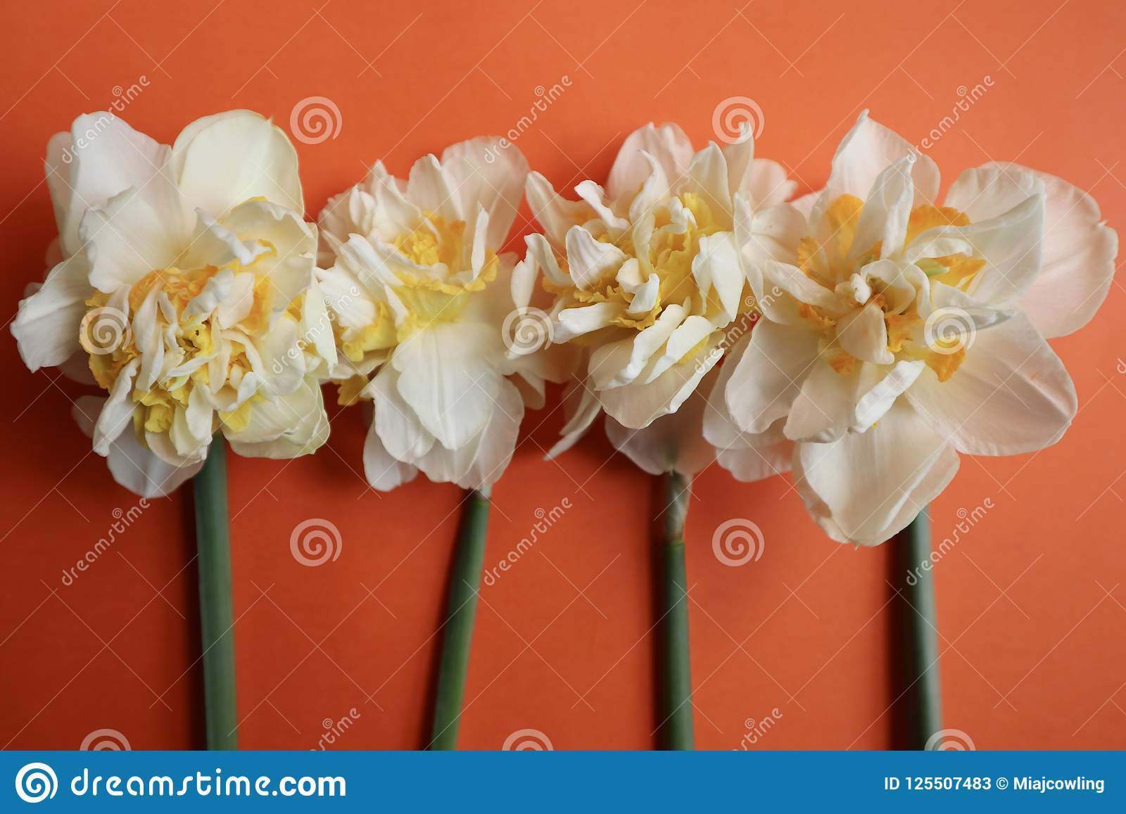 Vier Gele narcissen op Heldere Oranje Achtergrond