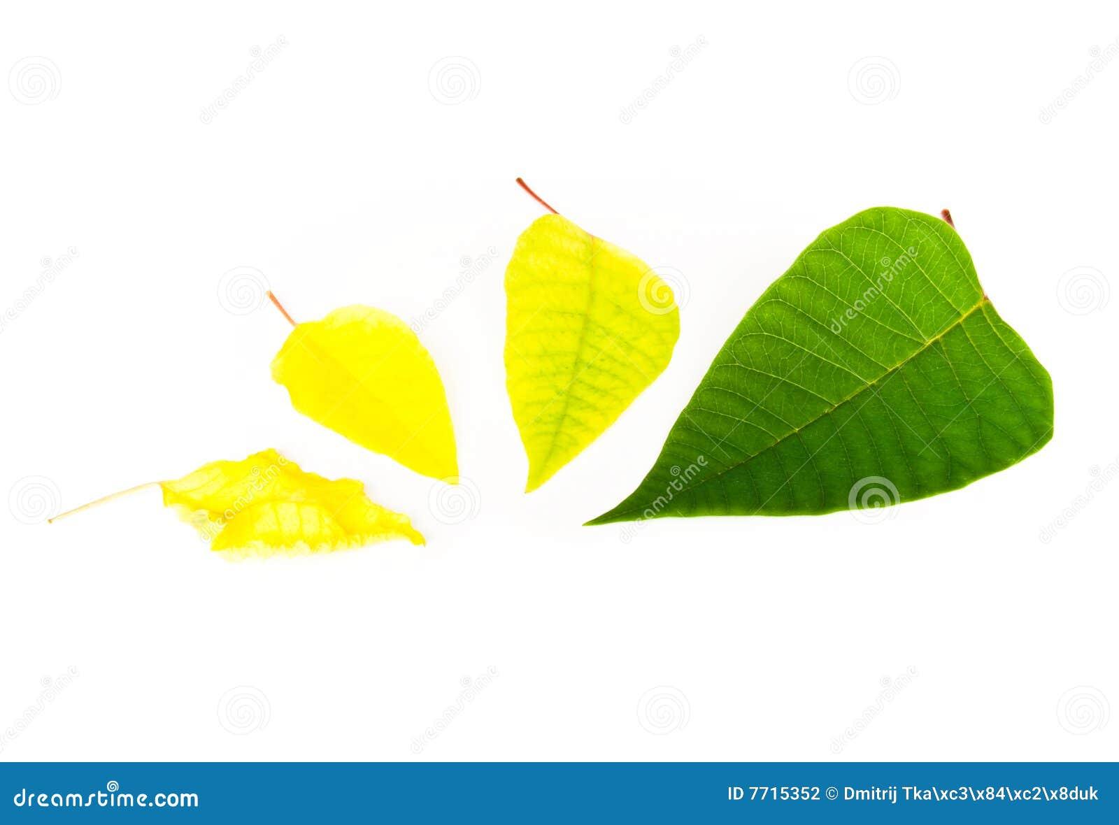 Vier groen eind geel blad