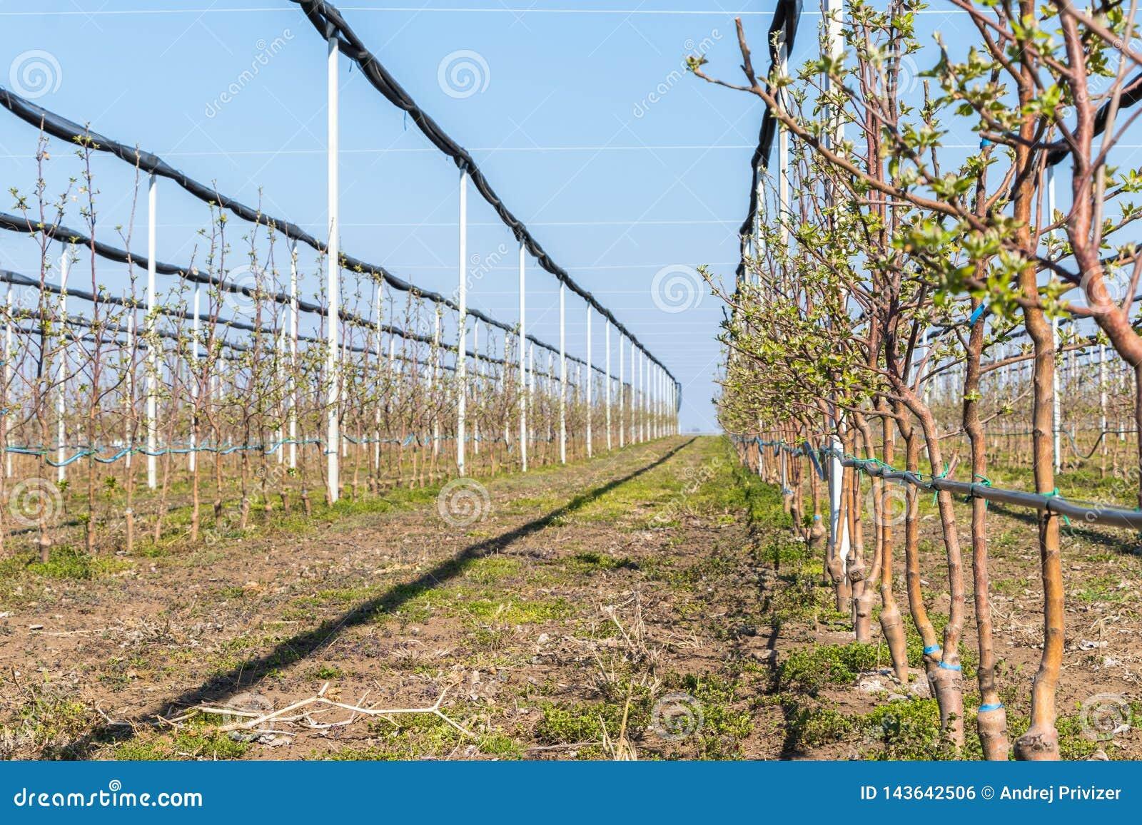 Vier Jahre alte golden deliciousbäume am Apfelgarten im März, selektiver Fokus