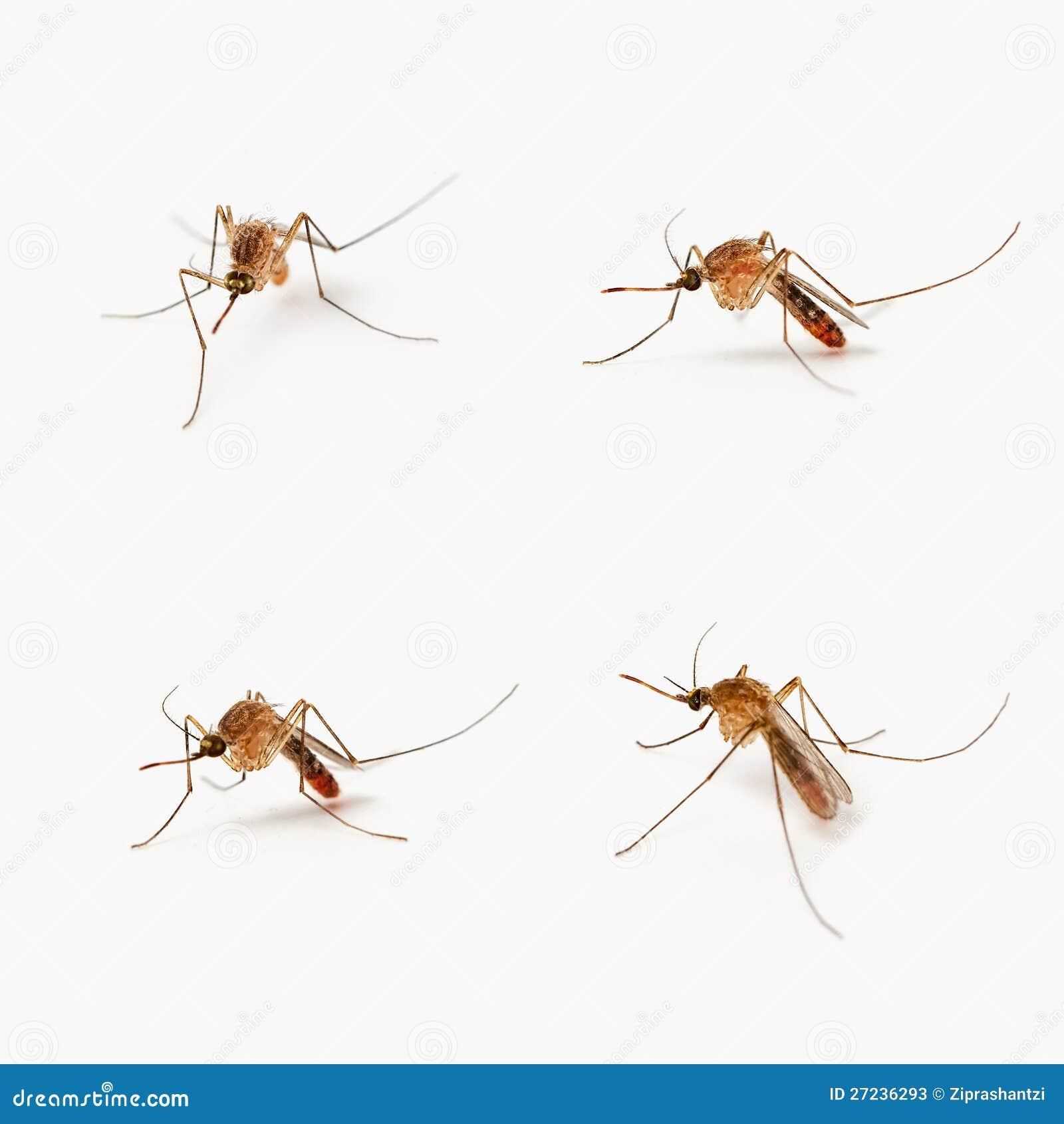 Vier muggen