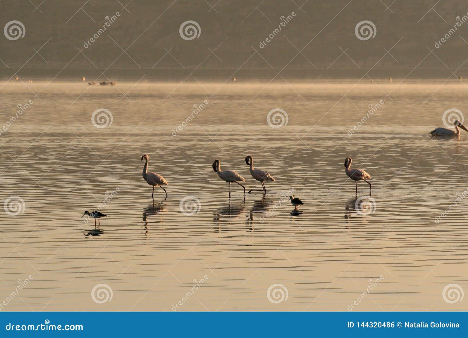 Vier roze flamingo sonderzoeken naar weekdieren en vissen in de wateren van het meer Meer Nakuru, Kenia