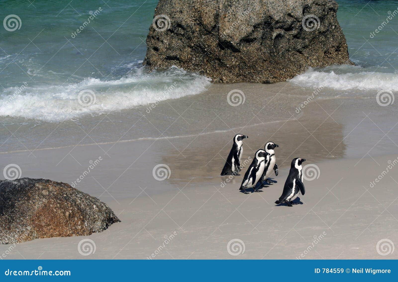 Vier Umhang-Pinguine