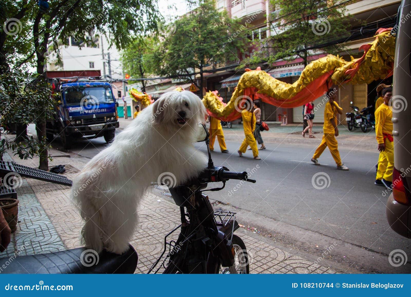 Vietnam - Januari 22, 2012: De hond bekijkt de draakdans Vietnamees nieuw jaar