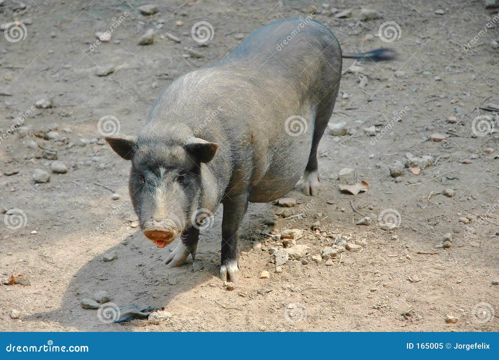 Vietnamese black pig