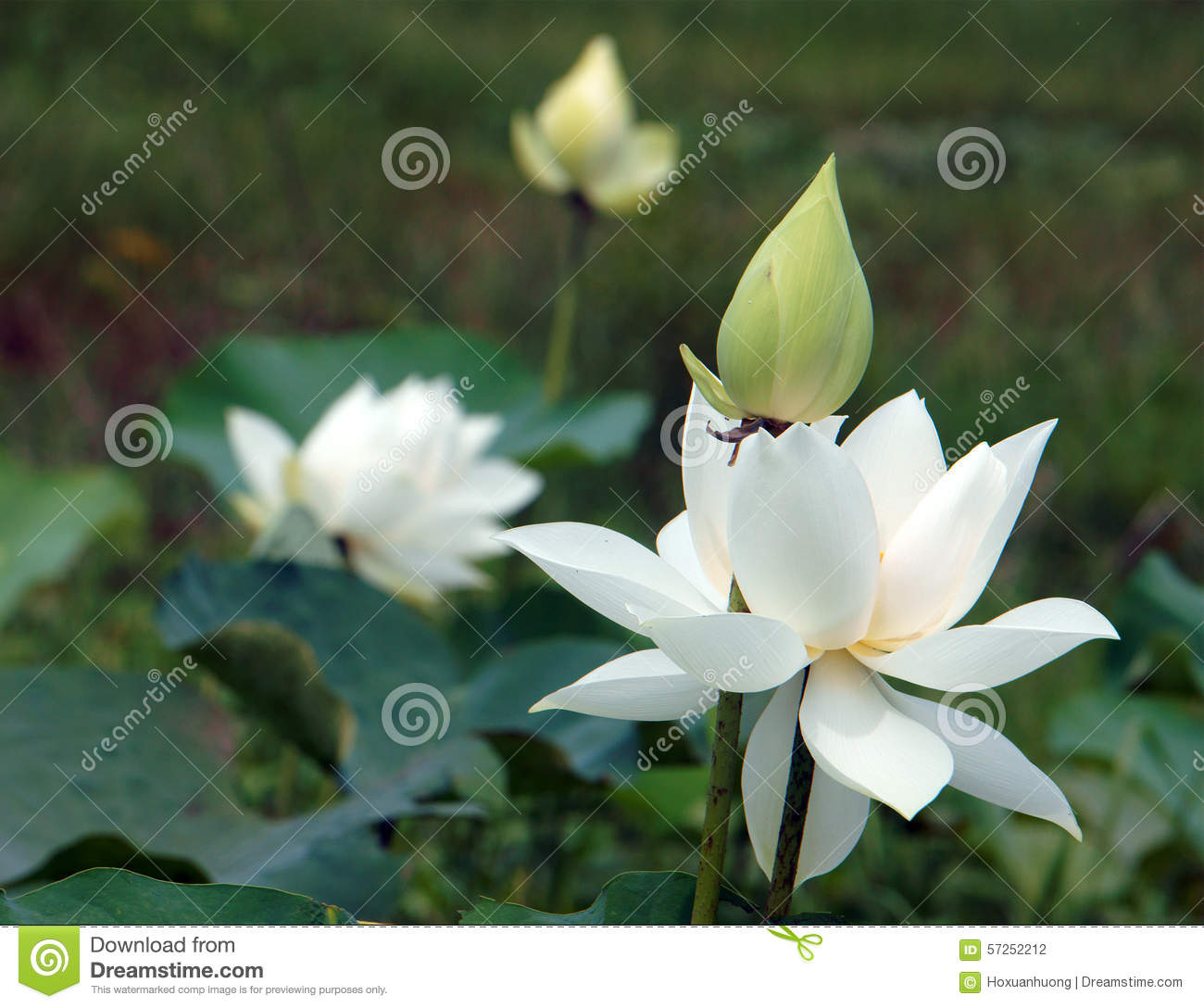 Vietnamese flower white lotus flower stock photo image of closet vietnamese flower pure white lotus flower symbol of vietnam at mekong delta closeup of beautiful bloossom flower bud ob green background mightylinksfo