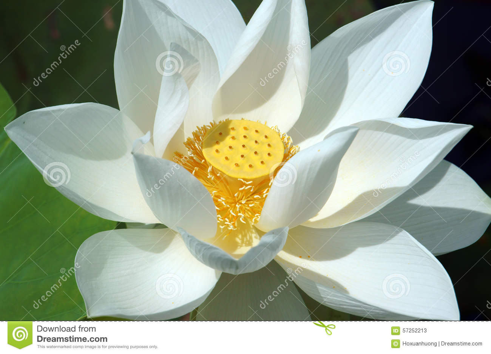 Vietnamese Flower White Lotus Flower Stock Image Image Of Lotus