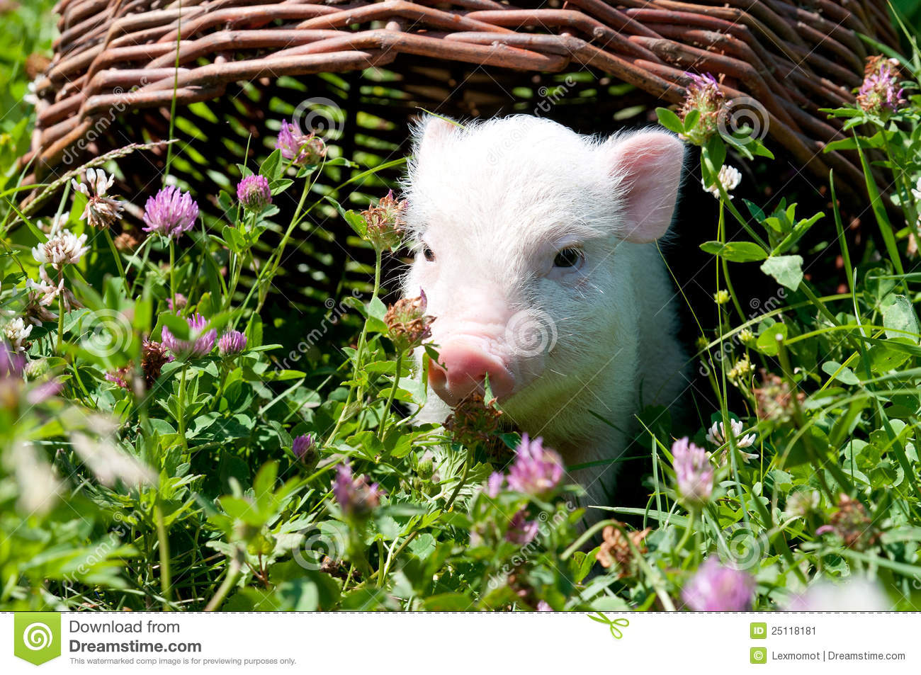 Vietnamese pig, eating grass on a sunny day