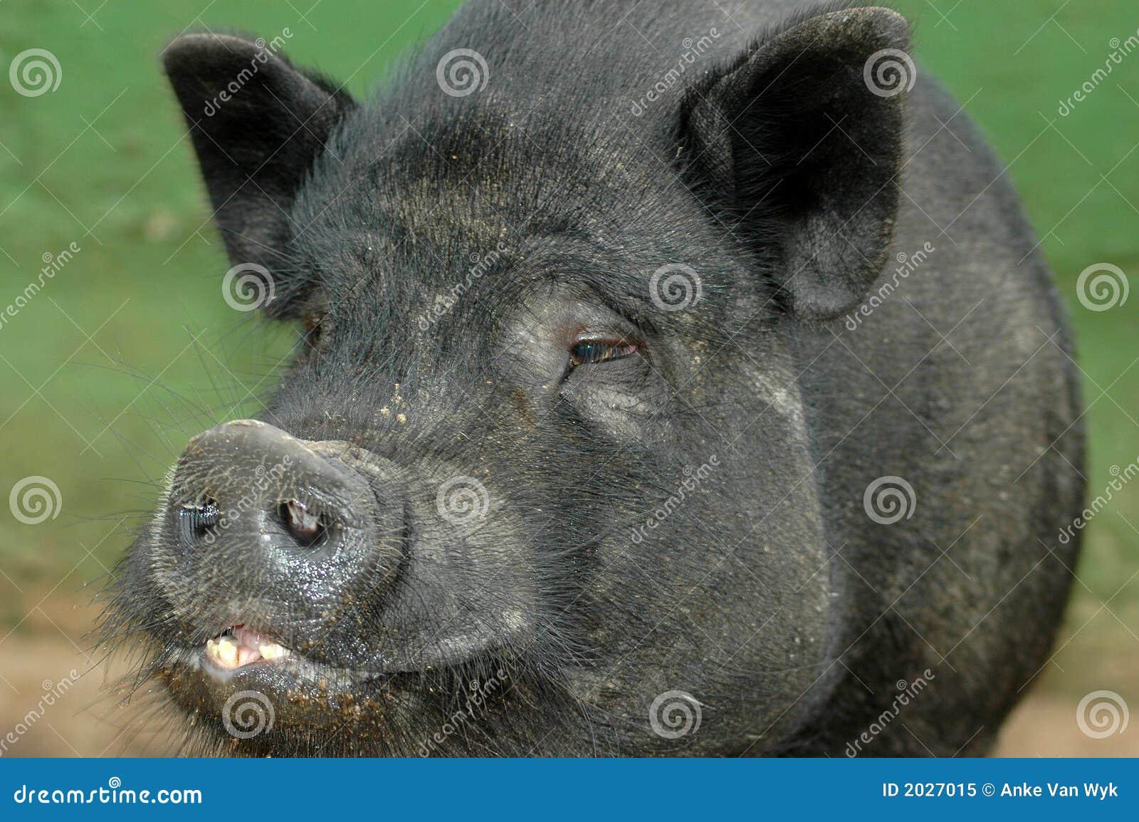 Love Asian miniature pigs bitch