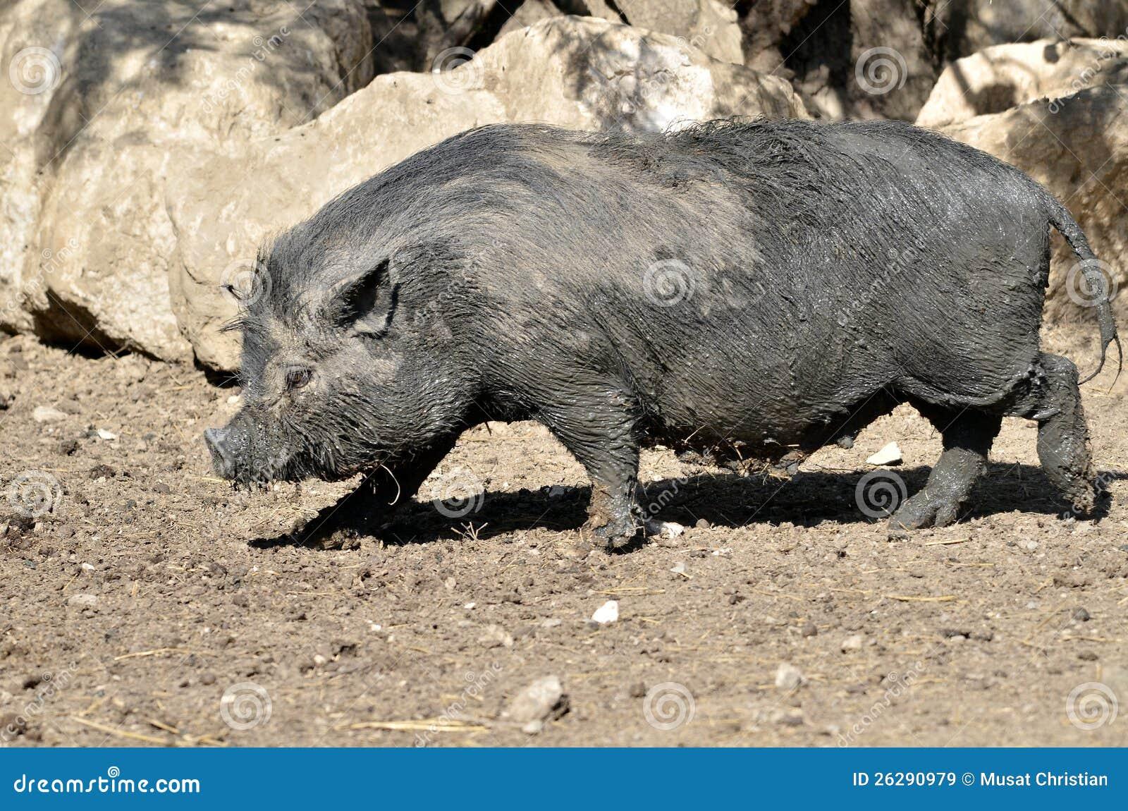 Vietnamese potbellied pig