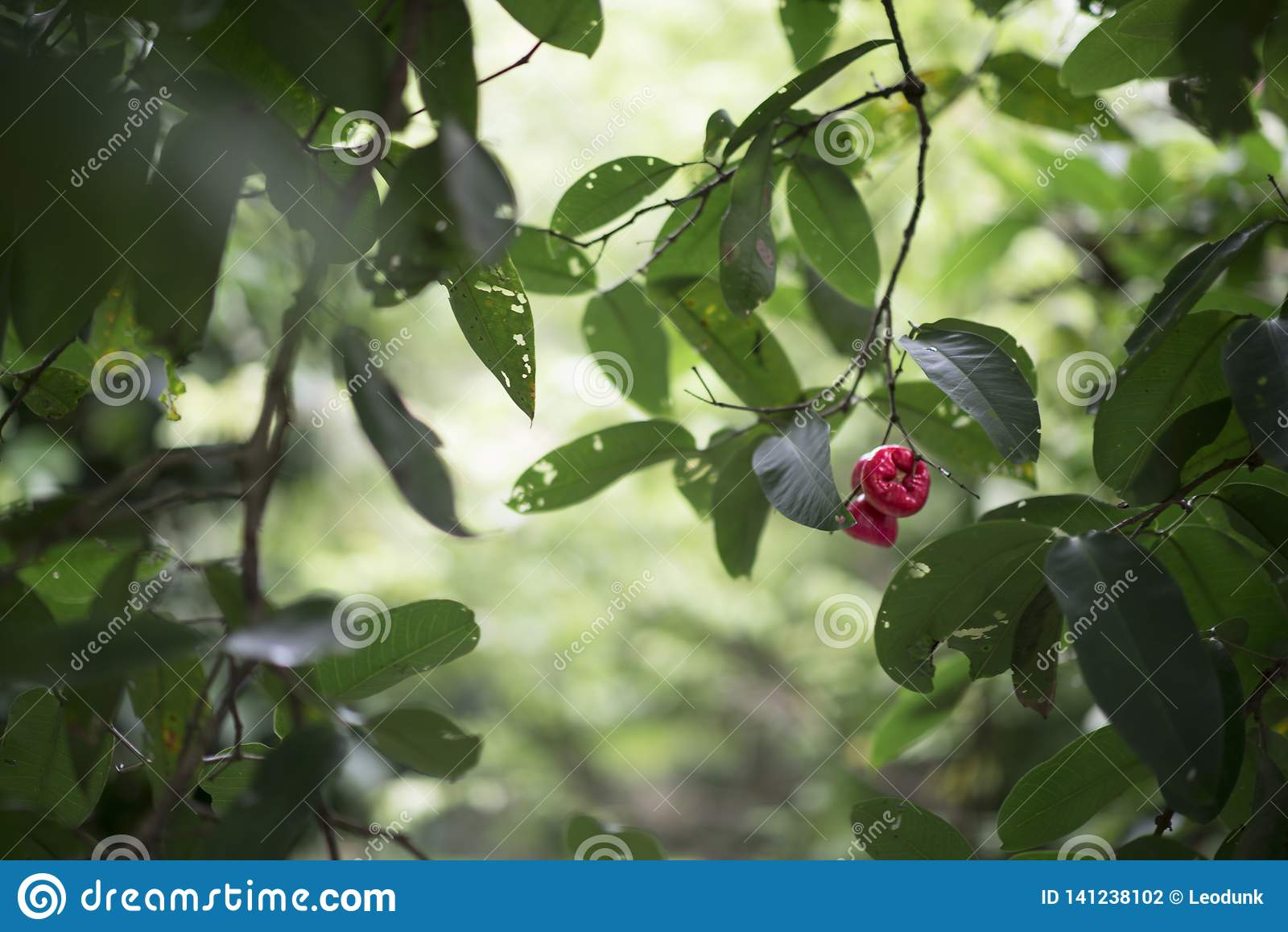 Vietnamese waterapple of de Syzygie samarangense zijn een tropische appel van de fruit ook geroepen was, de appel van Java, de dj