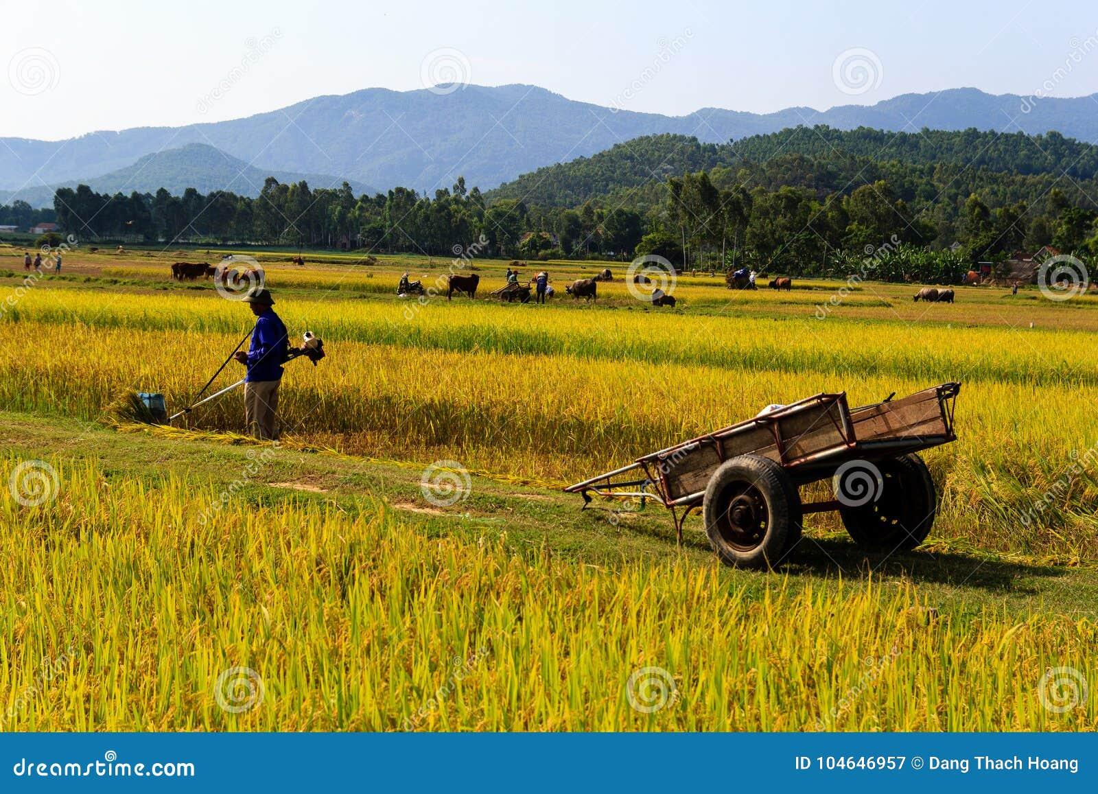 Vietnamesisk bonde som arbetar i risfälten