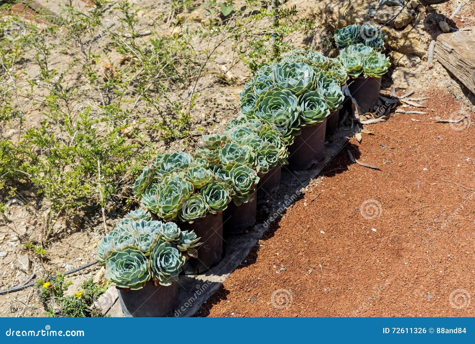 Vieux Cactus De Poules Et De Poussins Dans Pots Pour La
