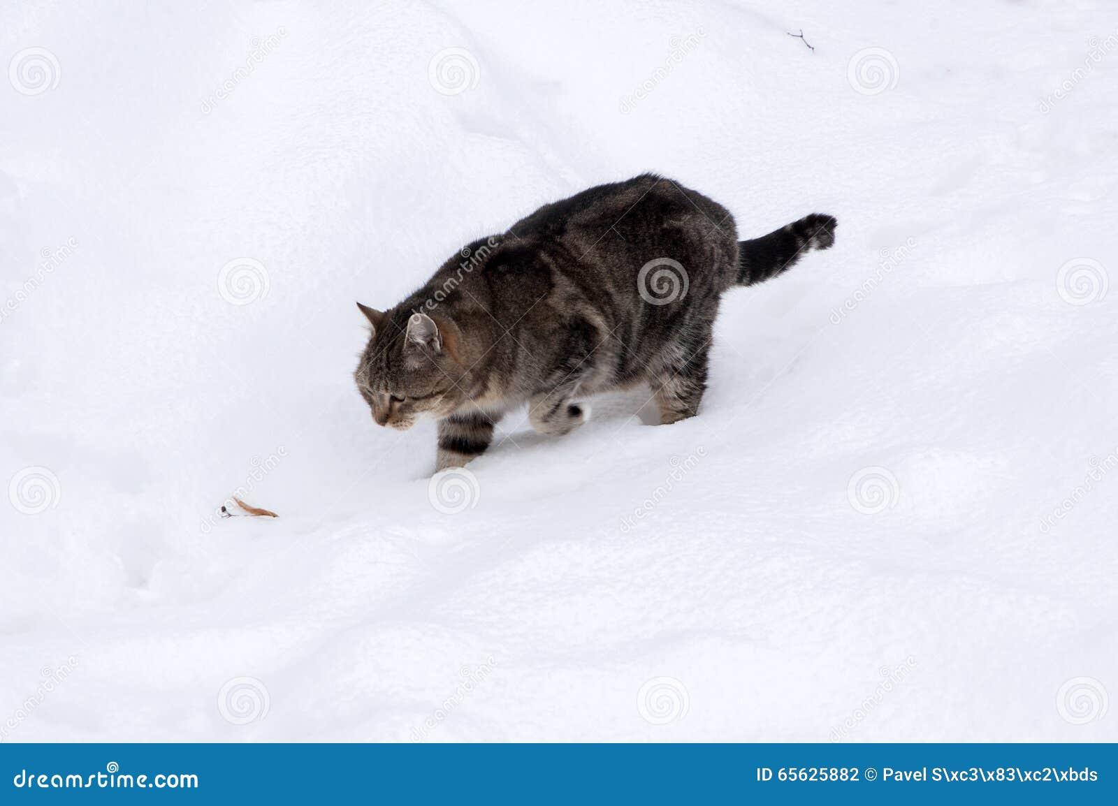 Vieux chat tigré dans la neige