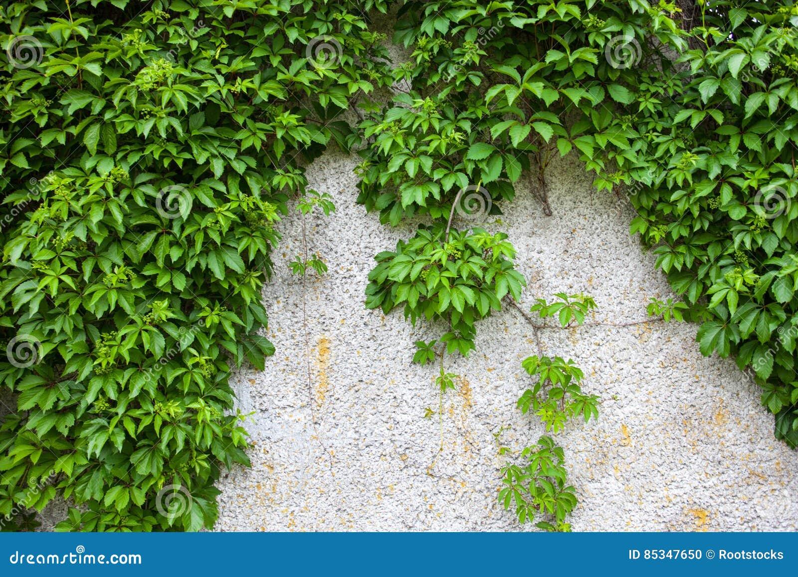 vieux mur en b ton couvert de lierre vert photo stock image 85347650. Black Bedroom Furniture Sets. Home Design Ideas