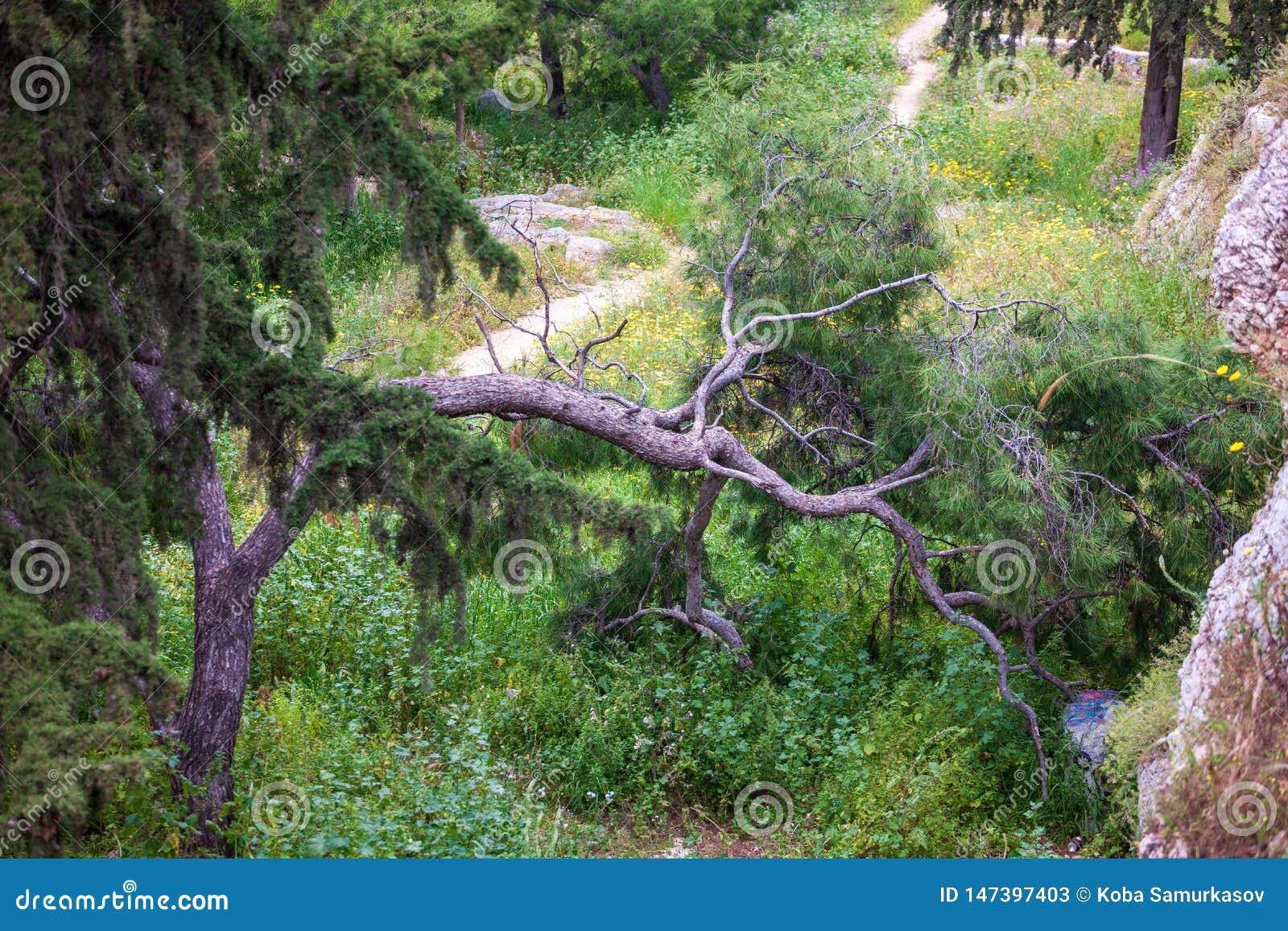 Vieux pin incurvé et tordu à Athènes