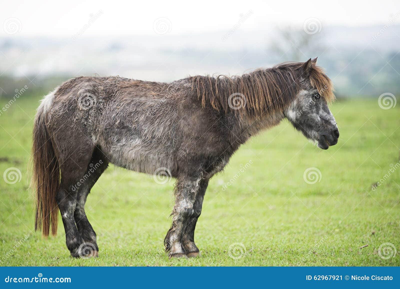 Vieux poney malade