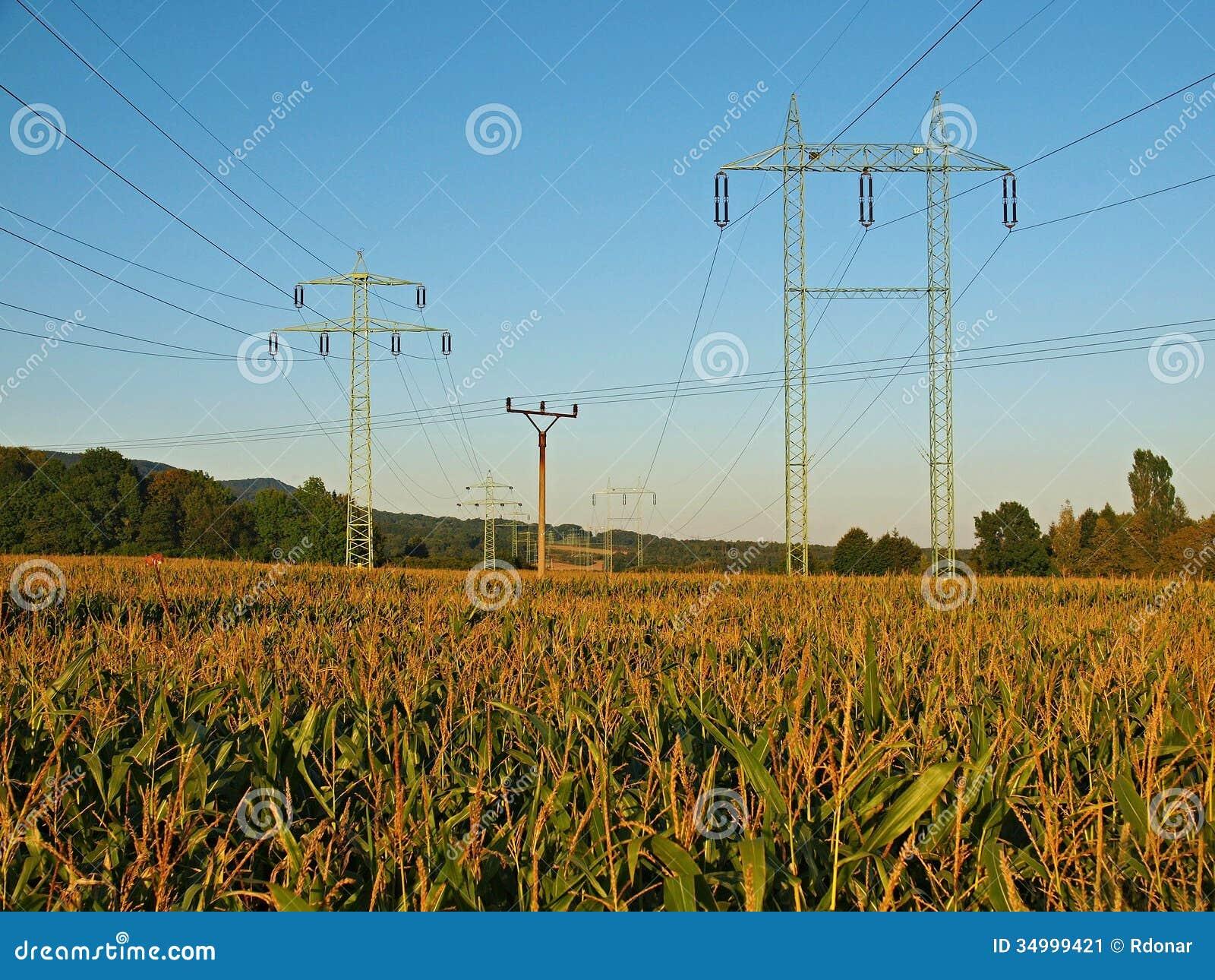 Vieux poteaux électriques grands et petits au milieu du champ de maïs.