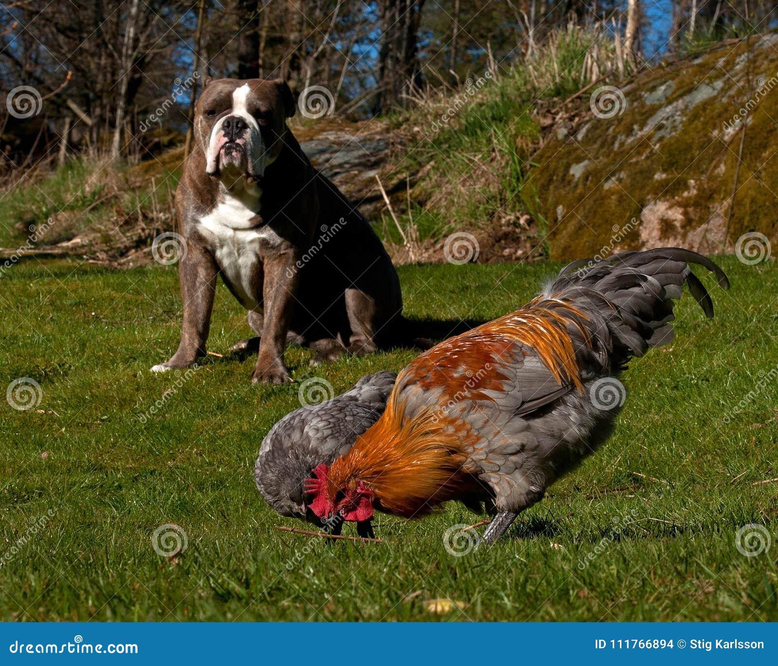 Vieux poulets anglais de guardes de bouledogue contre des prédateurs