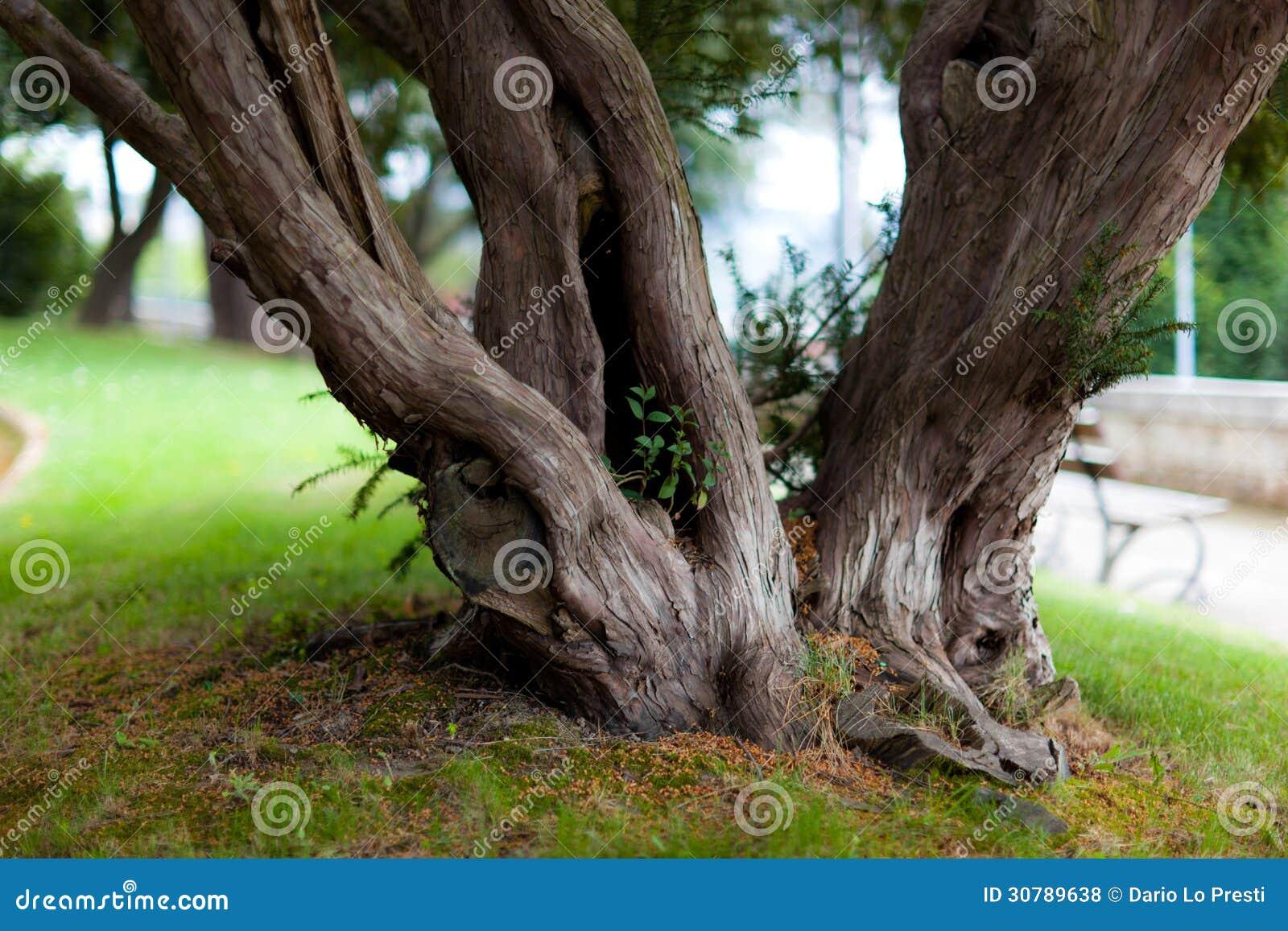 vieux tronc d 39 arbre photo stock image du trunk grand 30789638. Black Bedroom Furniture Sets. Home Design Ideas