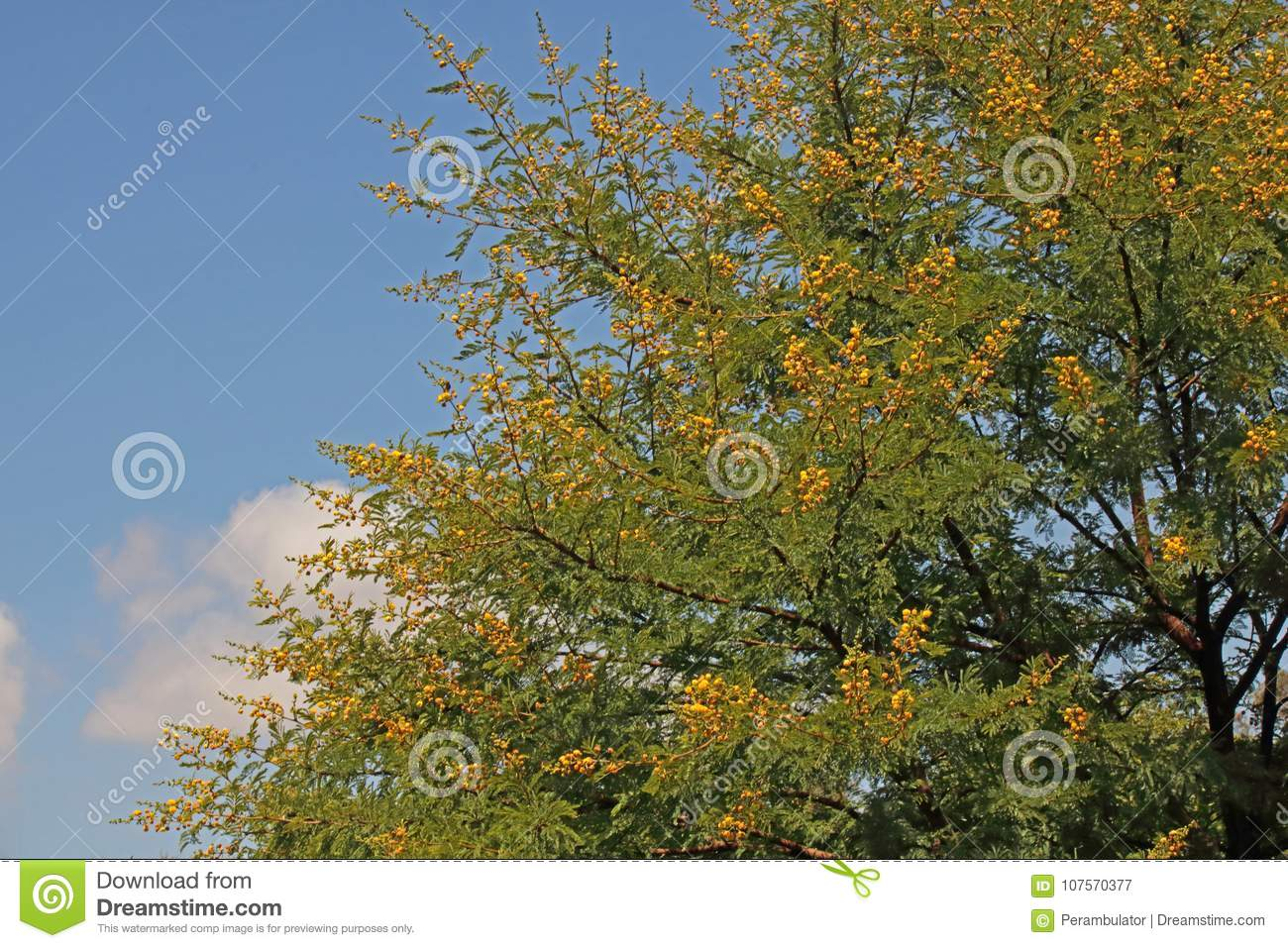 Yellow Flowers On Acacia Tree Branches Stock Image Image Of Plant