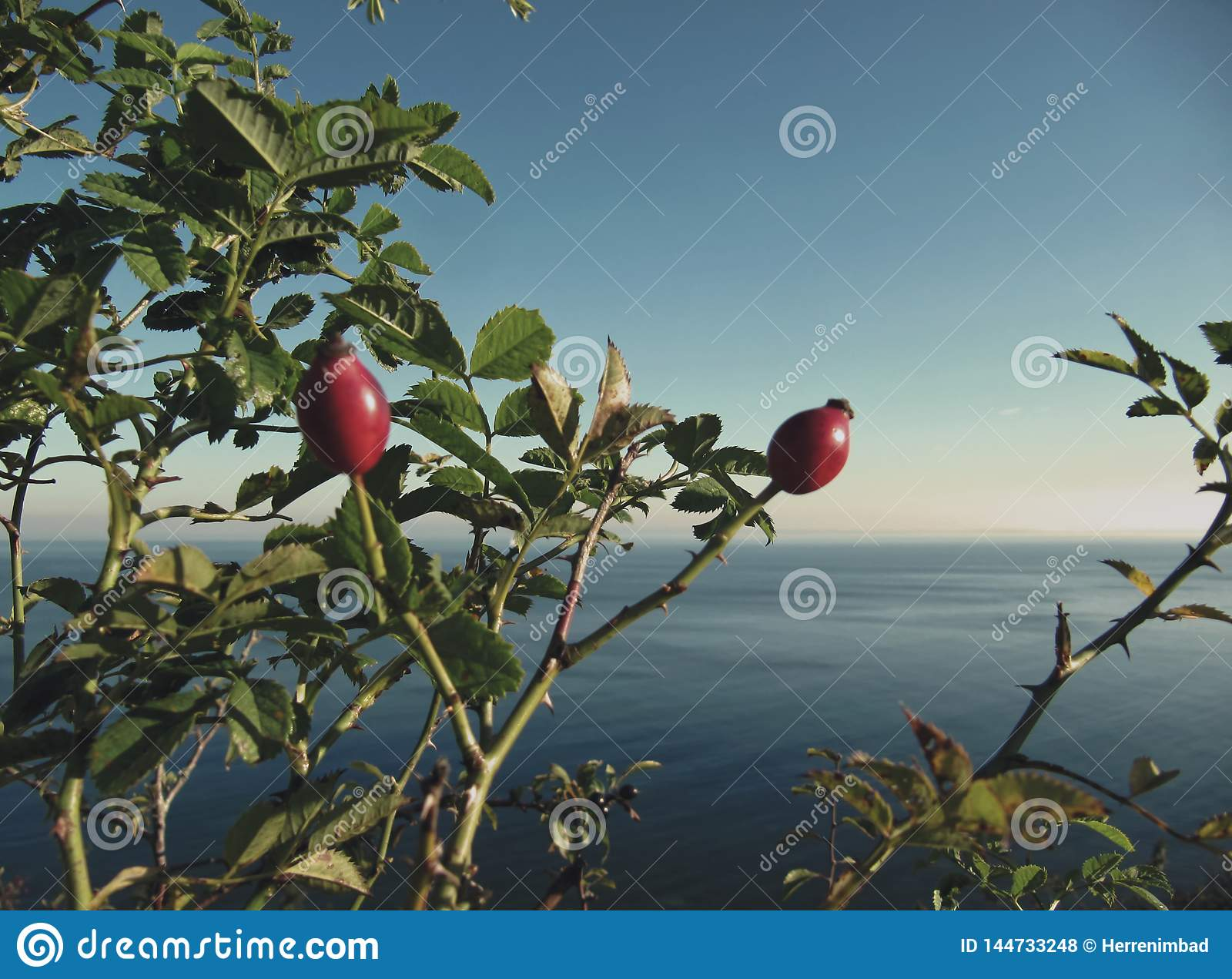Baltic Sea and rose hips