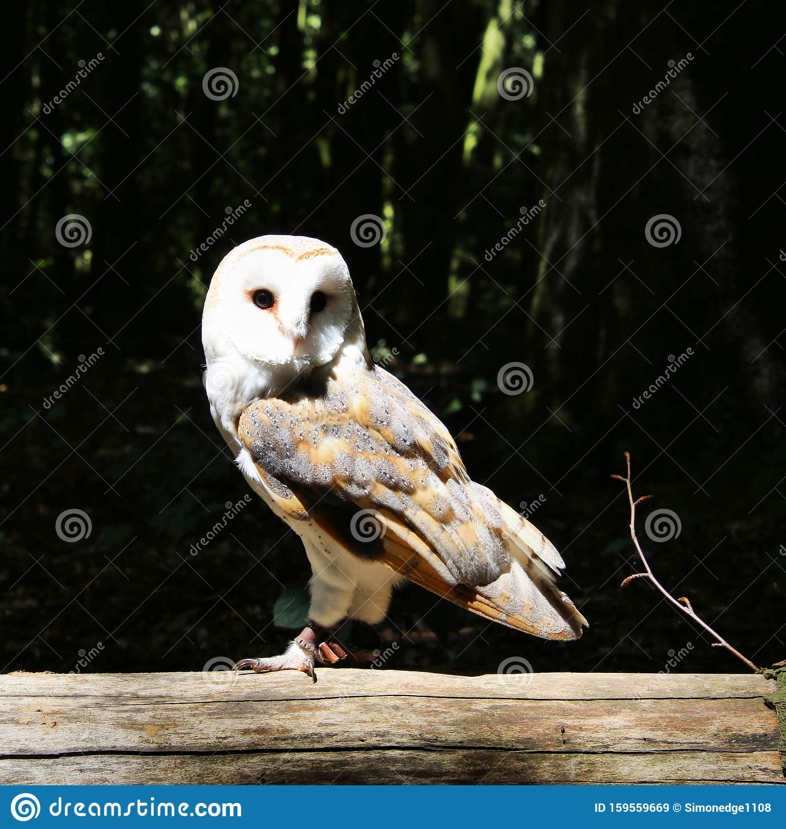 A View Of A Barn Owl On A Post Stock Image - Image of ...