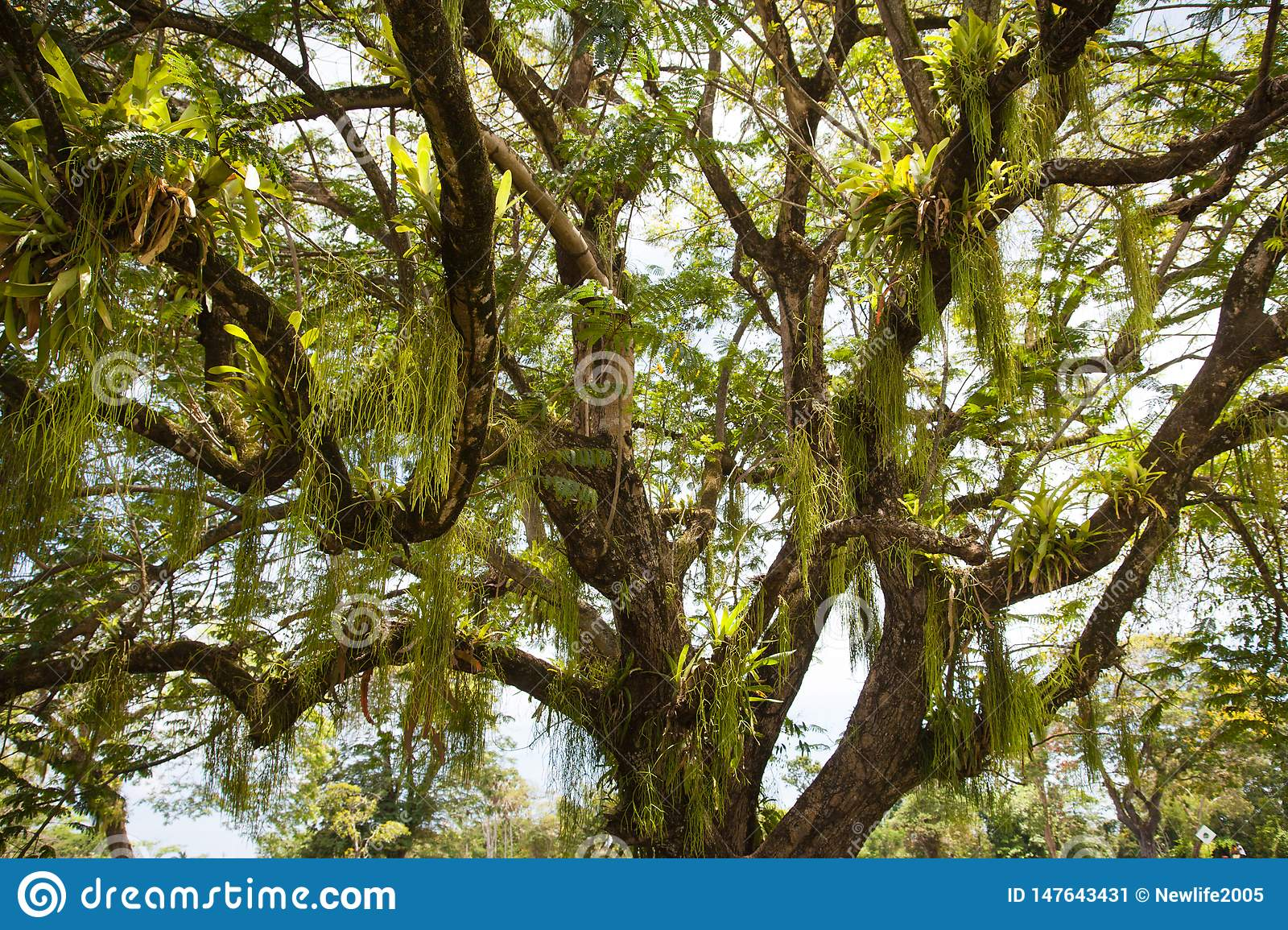 View of a beautiful tree with twining and hanging leaves of a parasitic plant against the blue sky