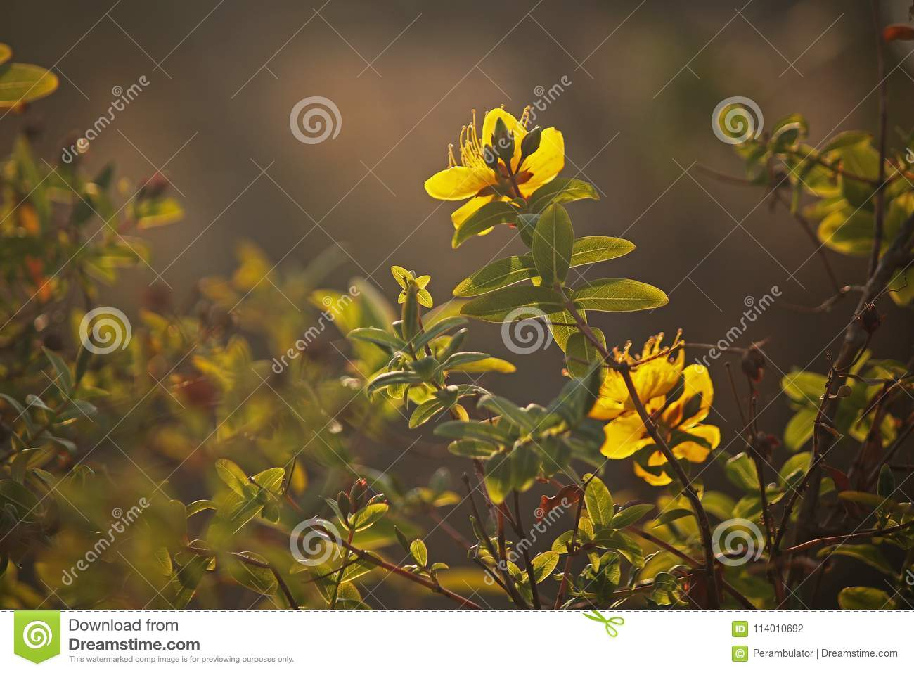 Hypericum Shrub With Yellow Flowers In Spring Stock Photo Image Of