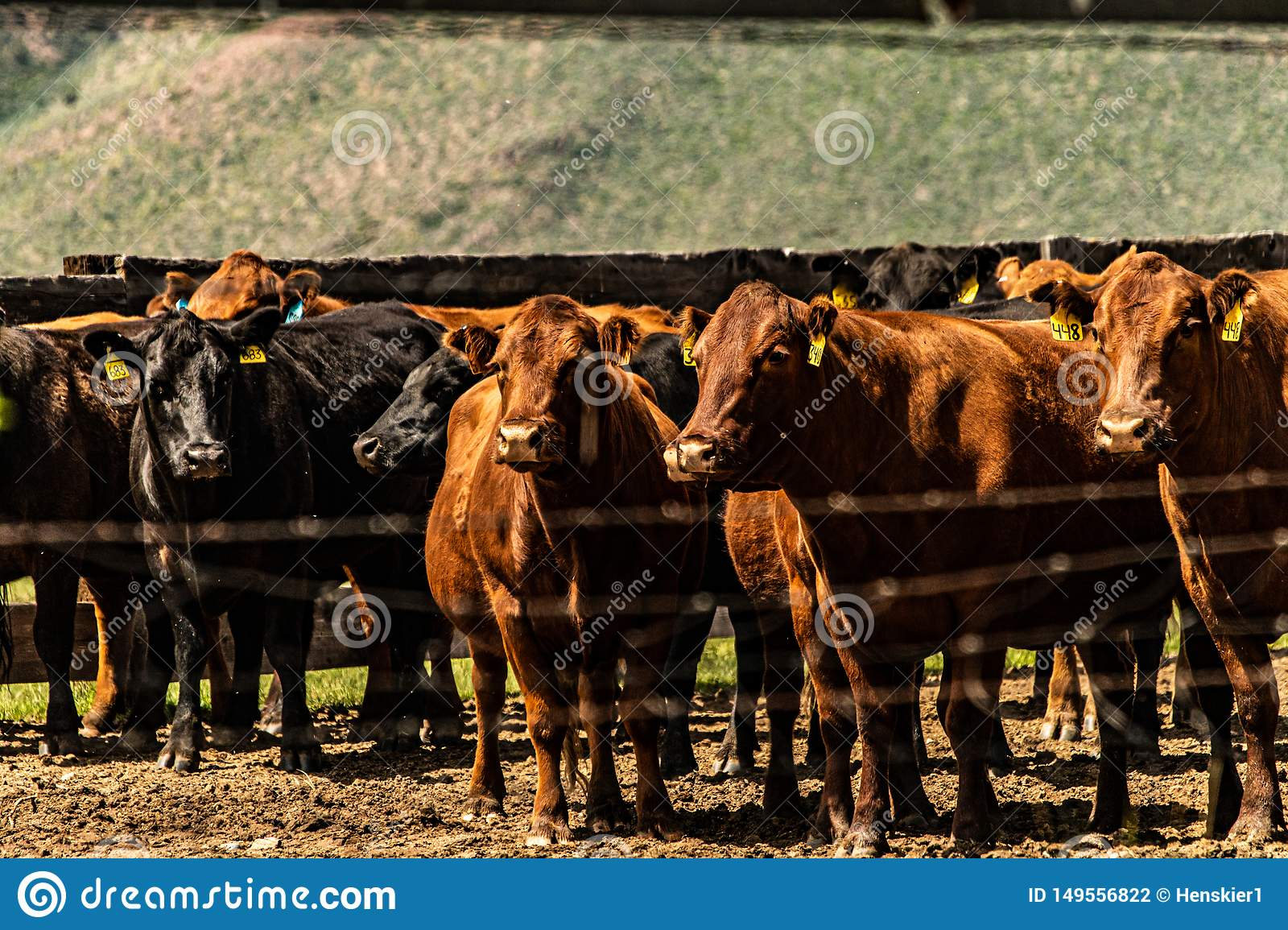 View Of Cattle At The Hunewill Ranch