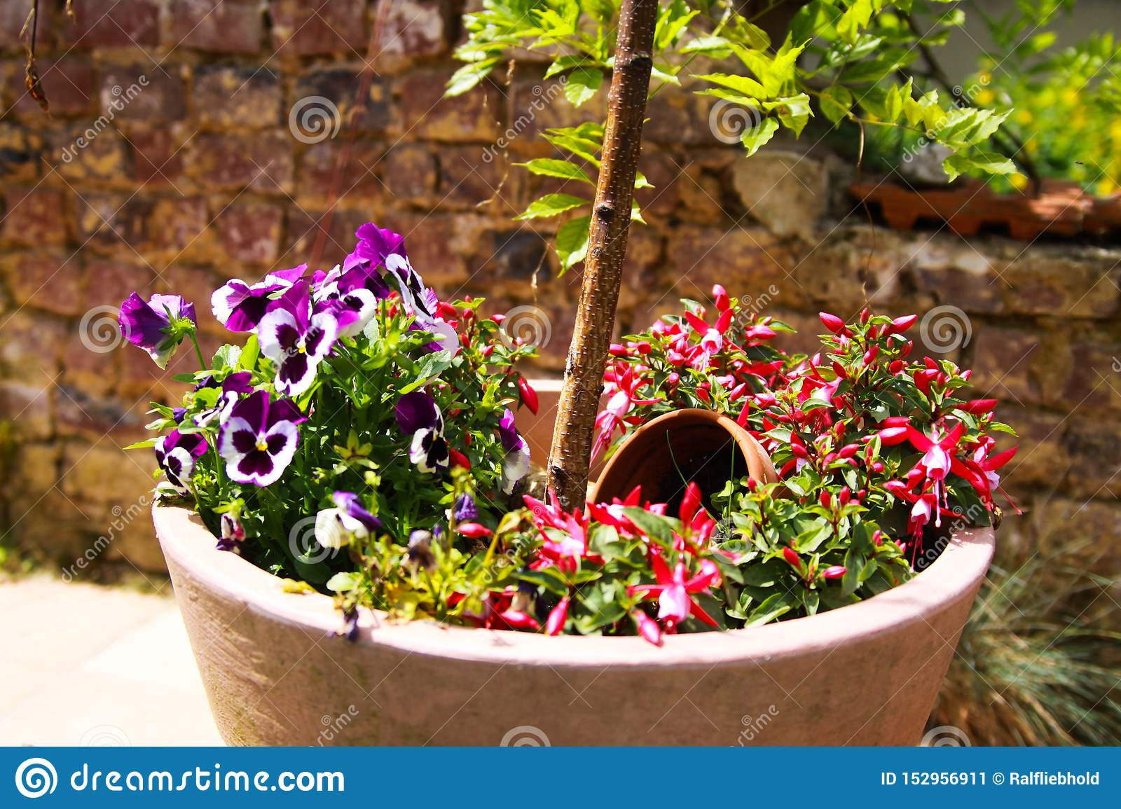 View on clay pot with small birch tree and pansies flowers on terrace of german garden with weathered old brick wall background in