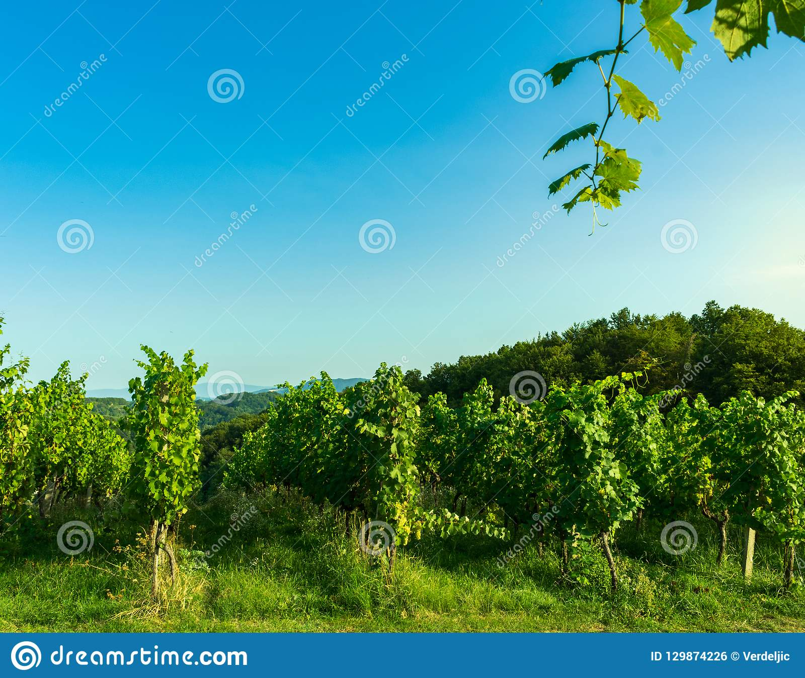 View of a cultivated vineyard in a hilly Zagorje region in Croatia, Europe, during a summer or autumn day