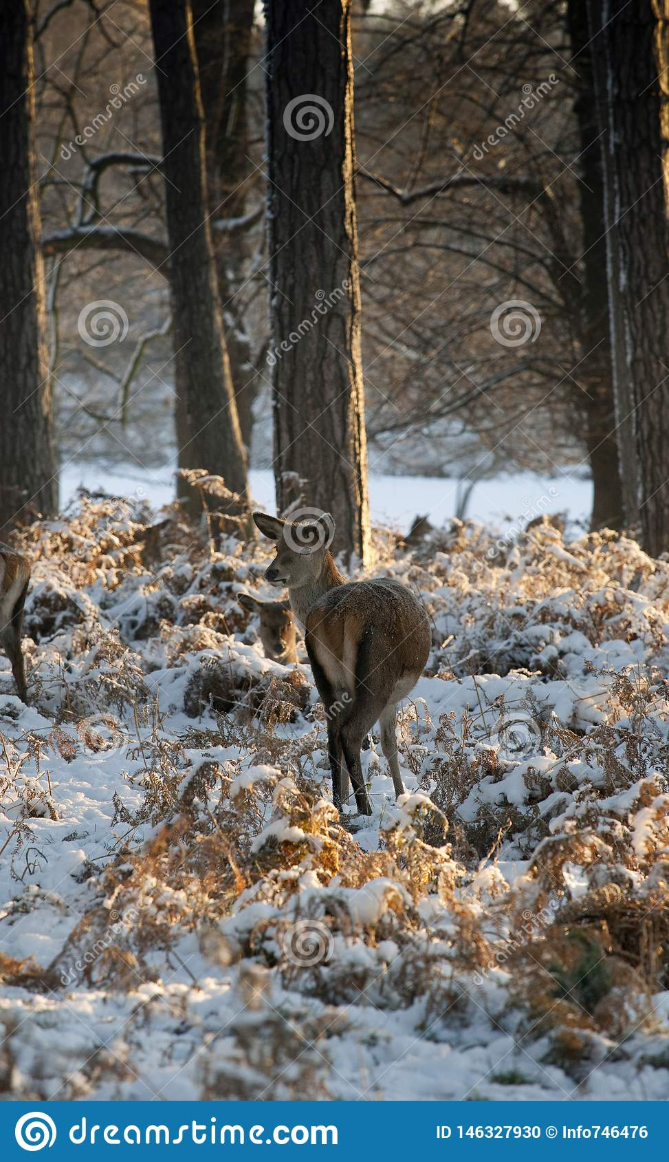 A view of deer in the grounds of the Elizabethan Wollaton Hall museum and gardens in the snow in winter in Nottingham,